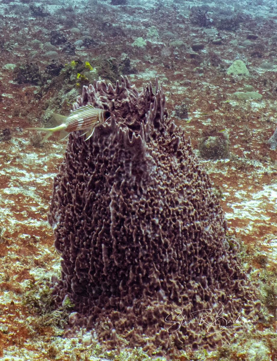 Giant-Barrel-Sponge-and-Longspine-Squirrelfish-5224