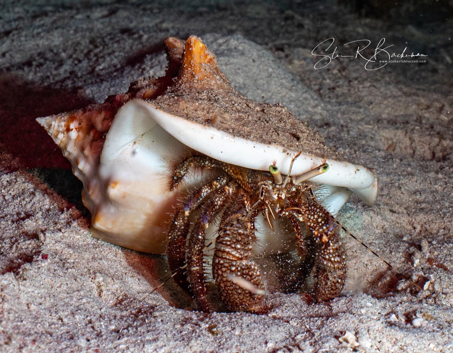 Giant-Hermit-Crab-5690