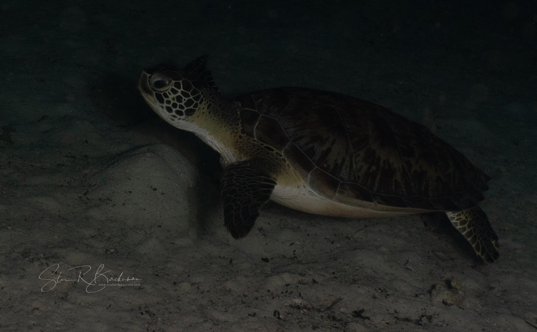 Green-Sea-Turtle-5715