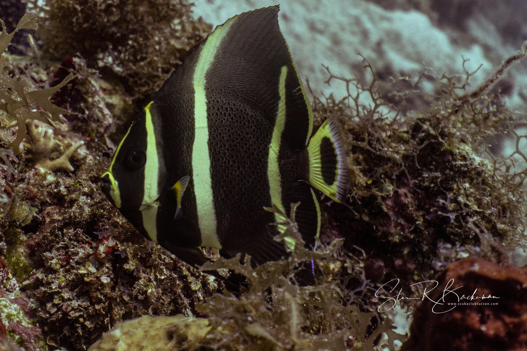 Juvenile-Gray-Angelfish-5302