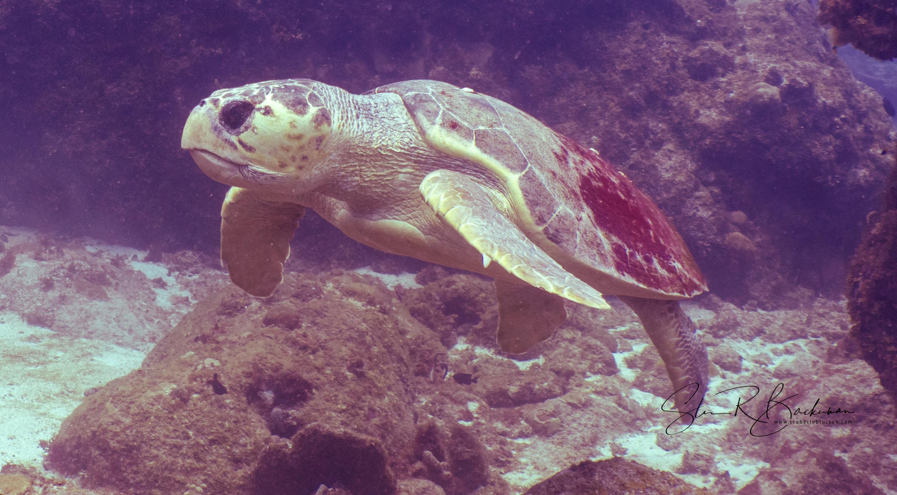 Loggerhead-Sea-Turtle-5196