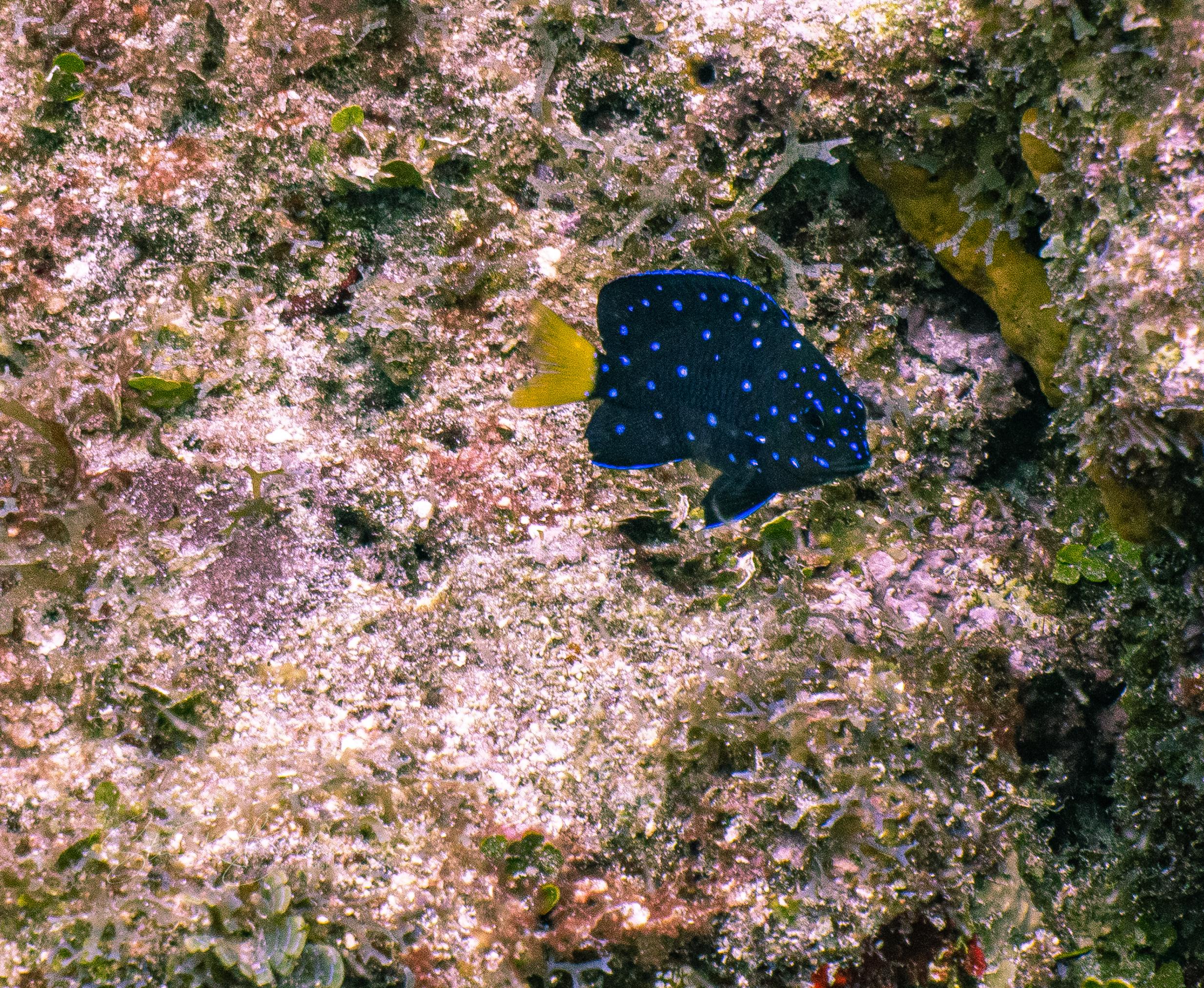 Maturing-Yellowtail-Damselfish-5185