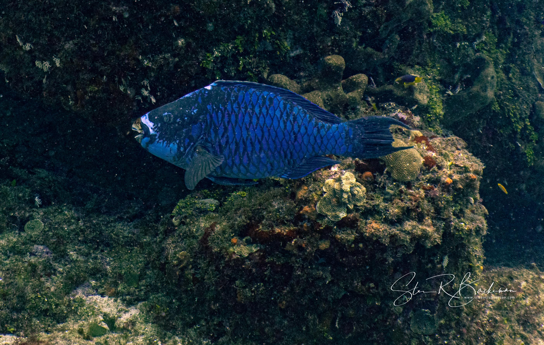 Midnight-Parrotfish-5231