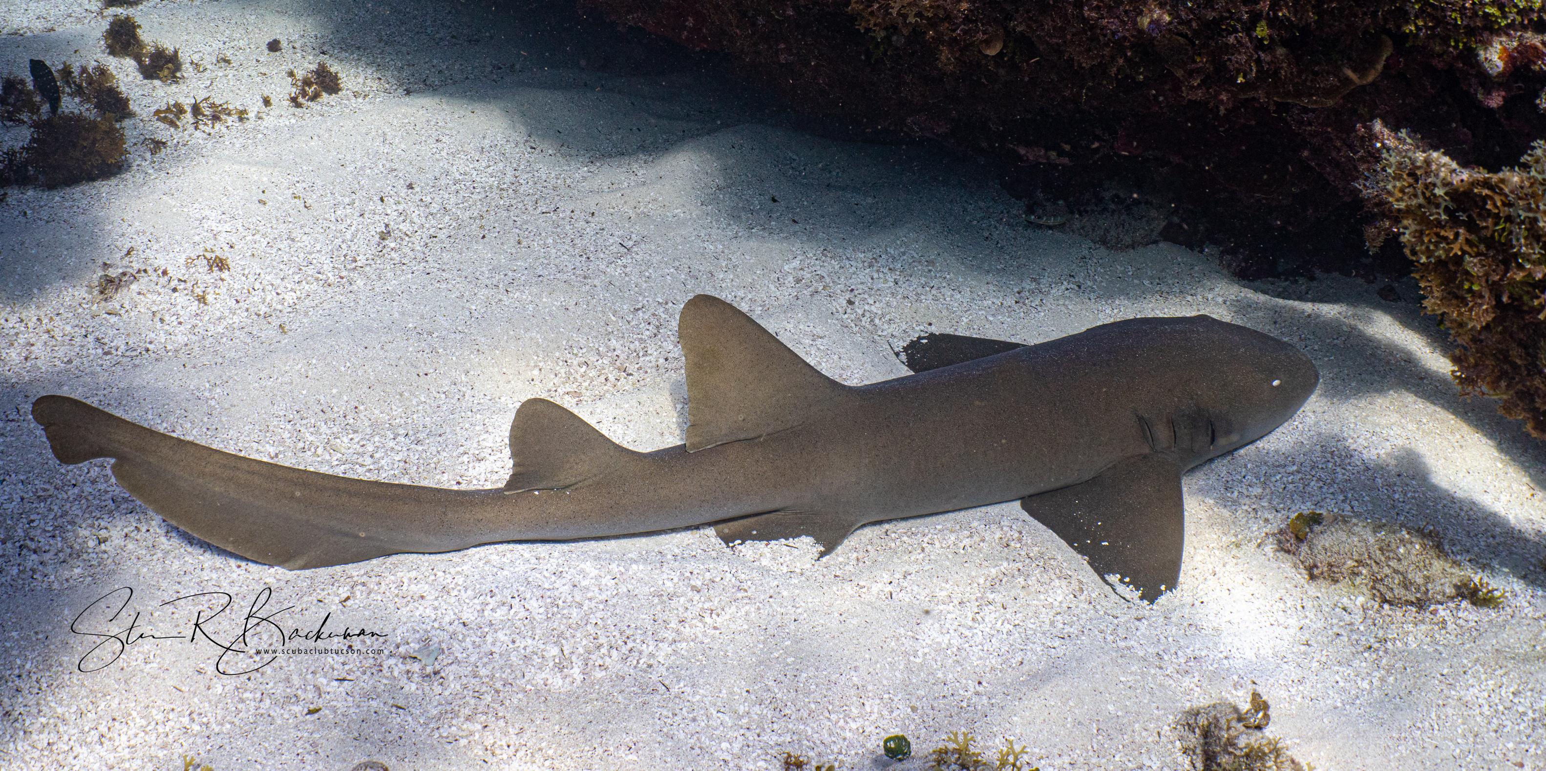 Nurse-Shark-5473