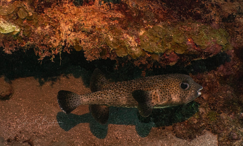 Porcupinefish-5329