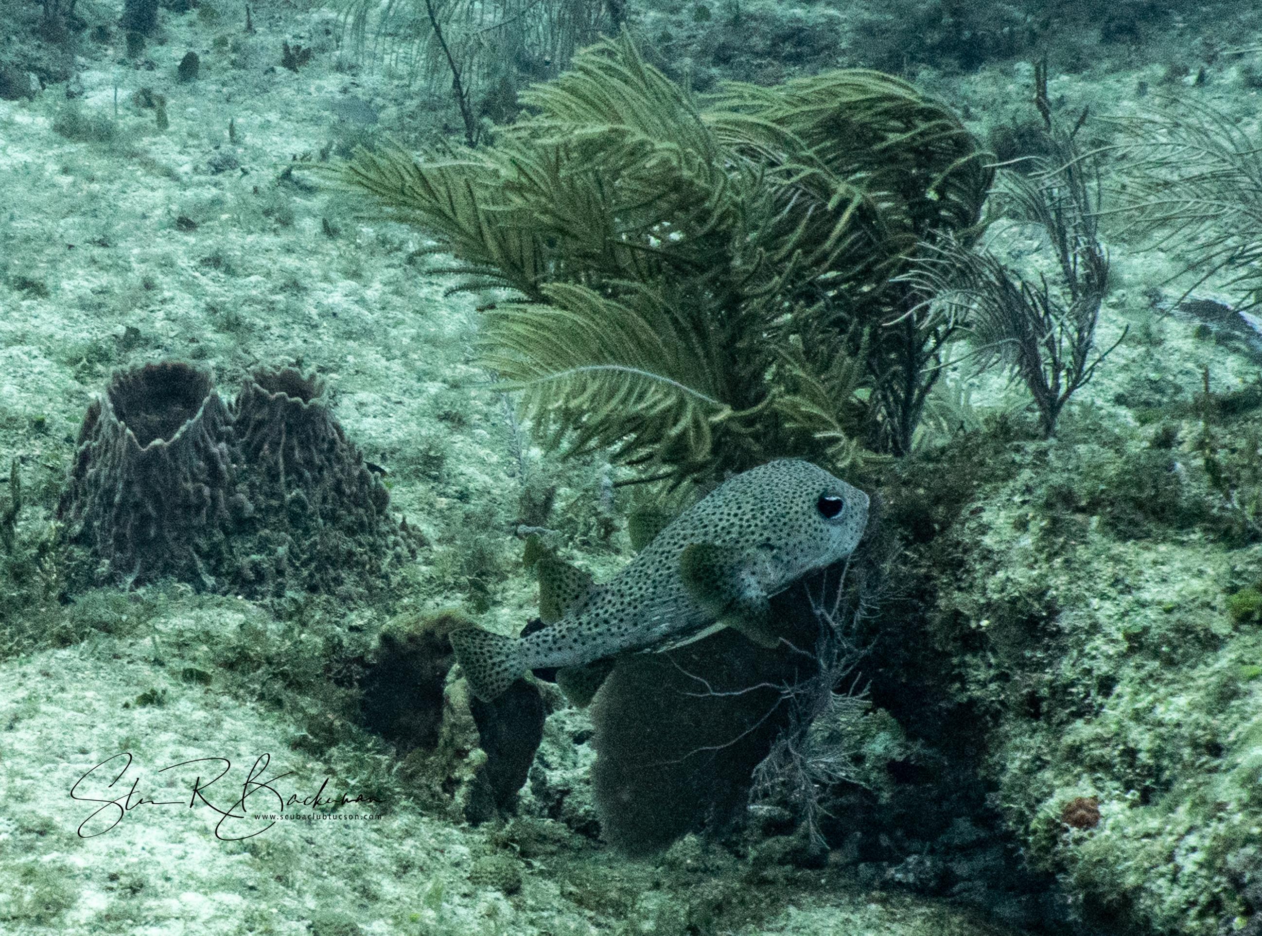 Porcupinefish-5932