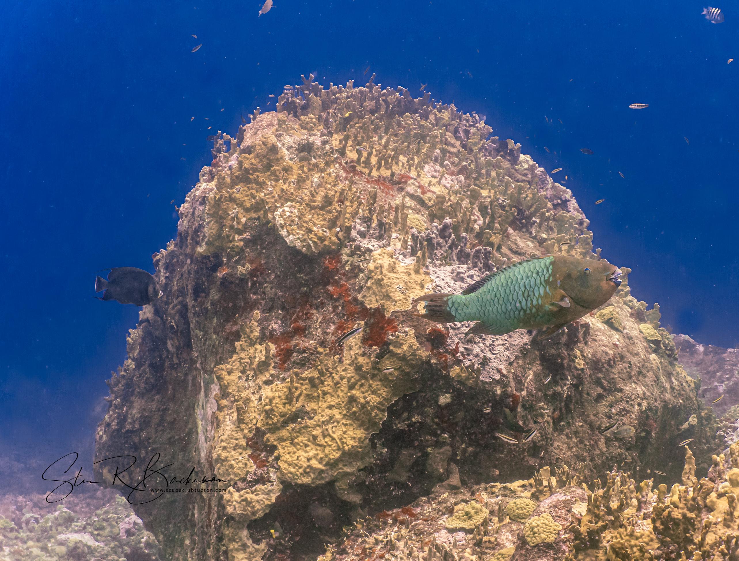 Rainbow-Parrotfish-5268