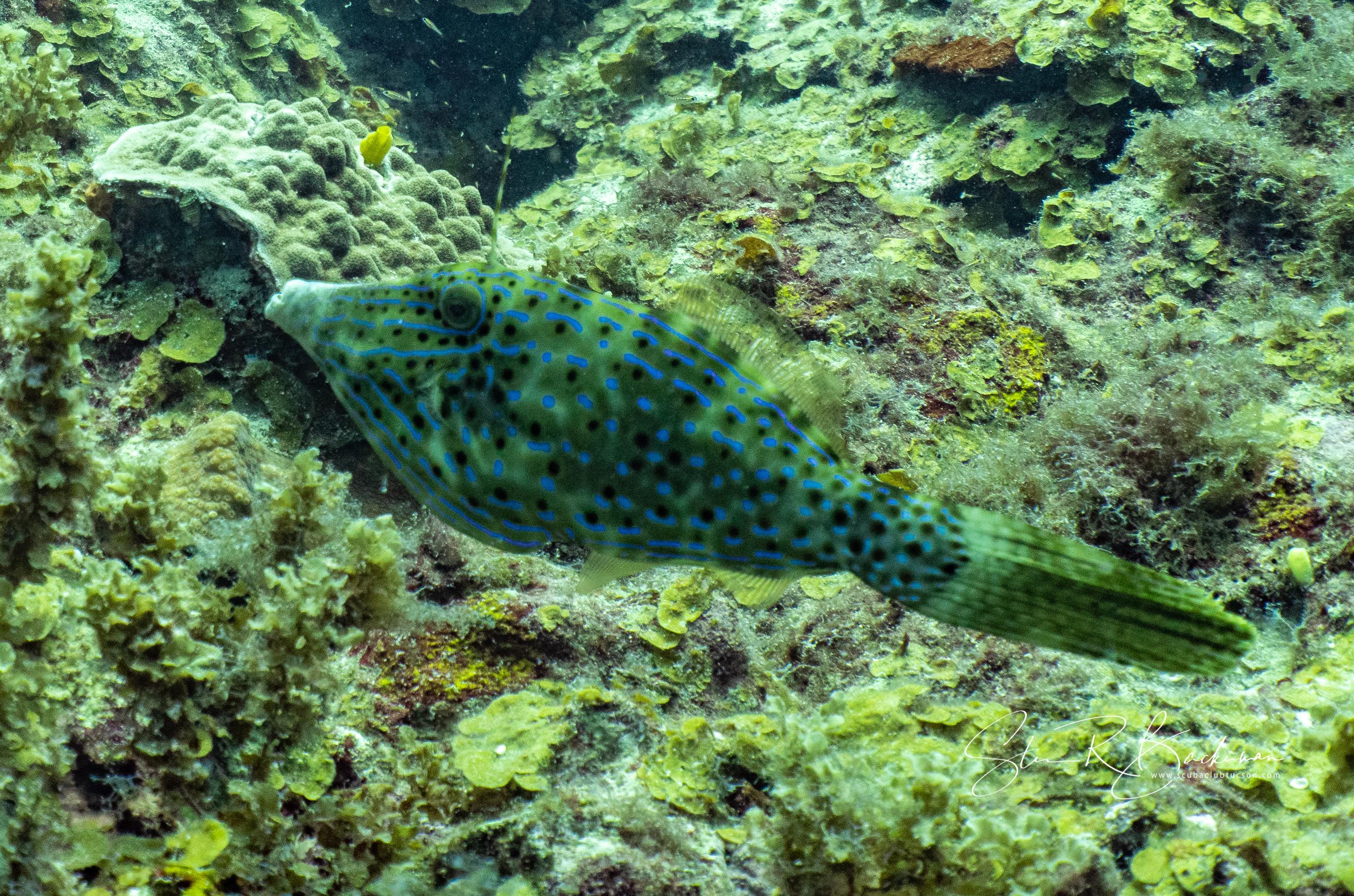 Scrawled-Filefish-5575