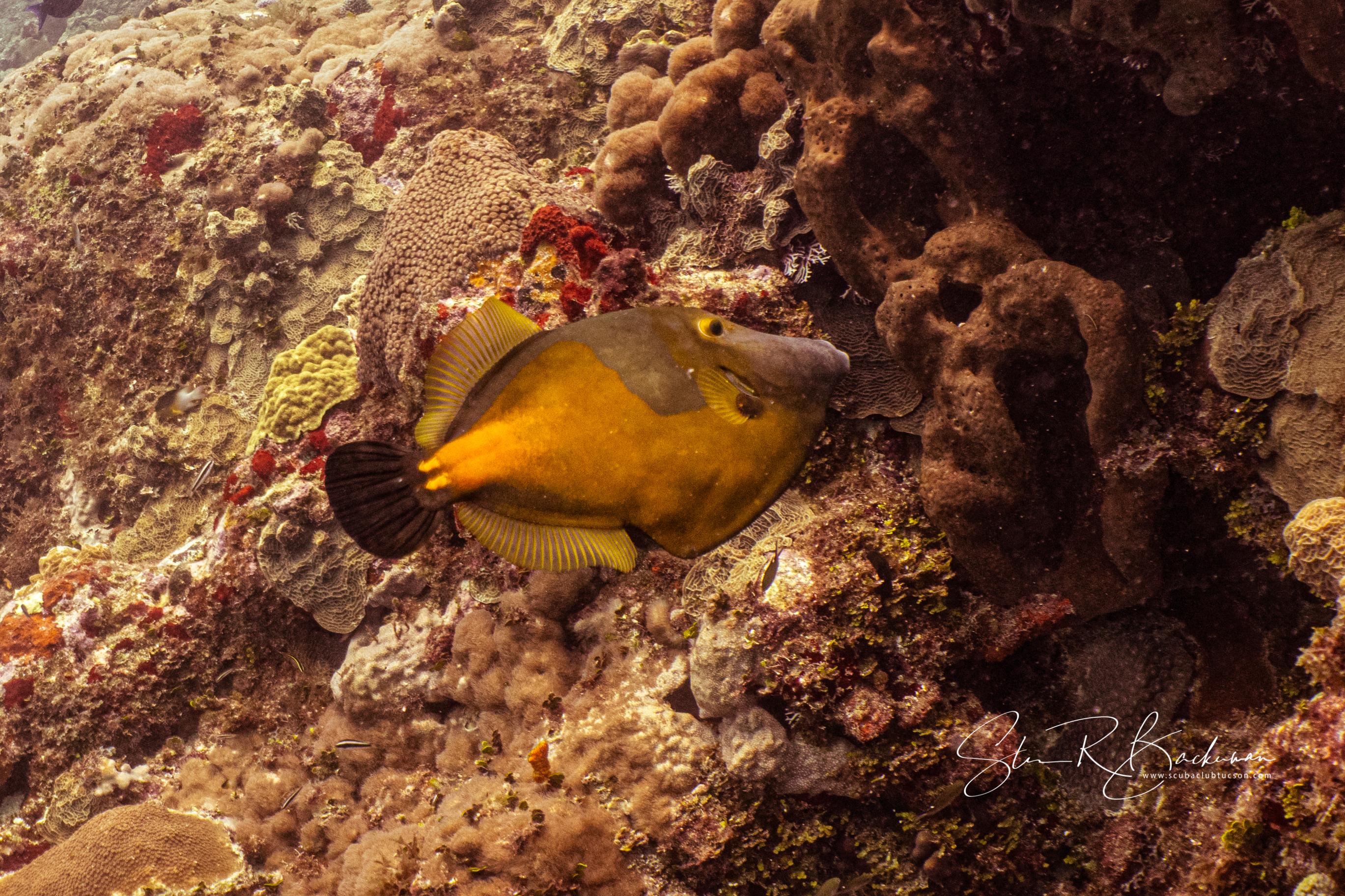 Whitespotted-Filefish-5213