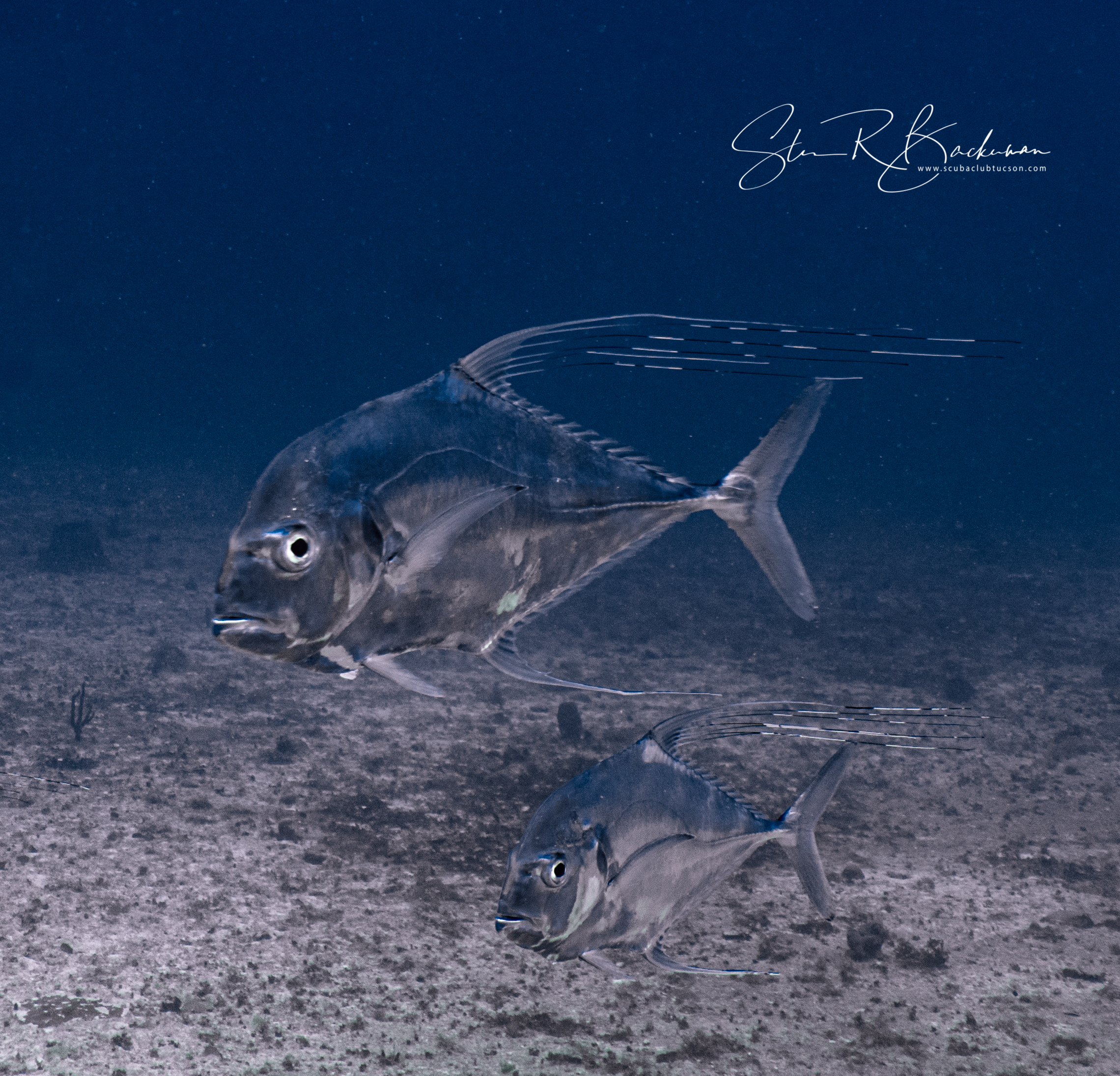 Young-Adult-African-Pompano-5182