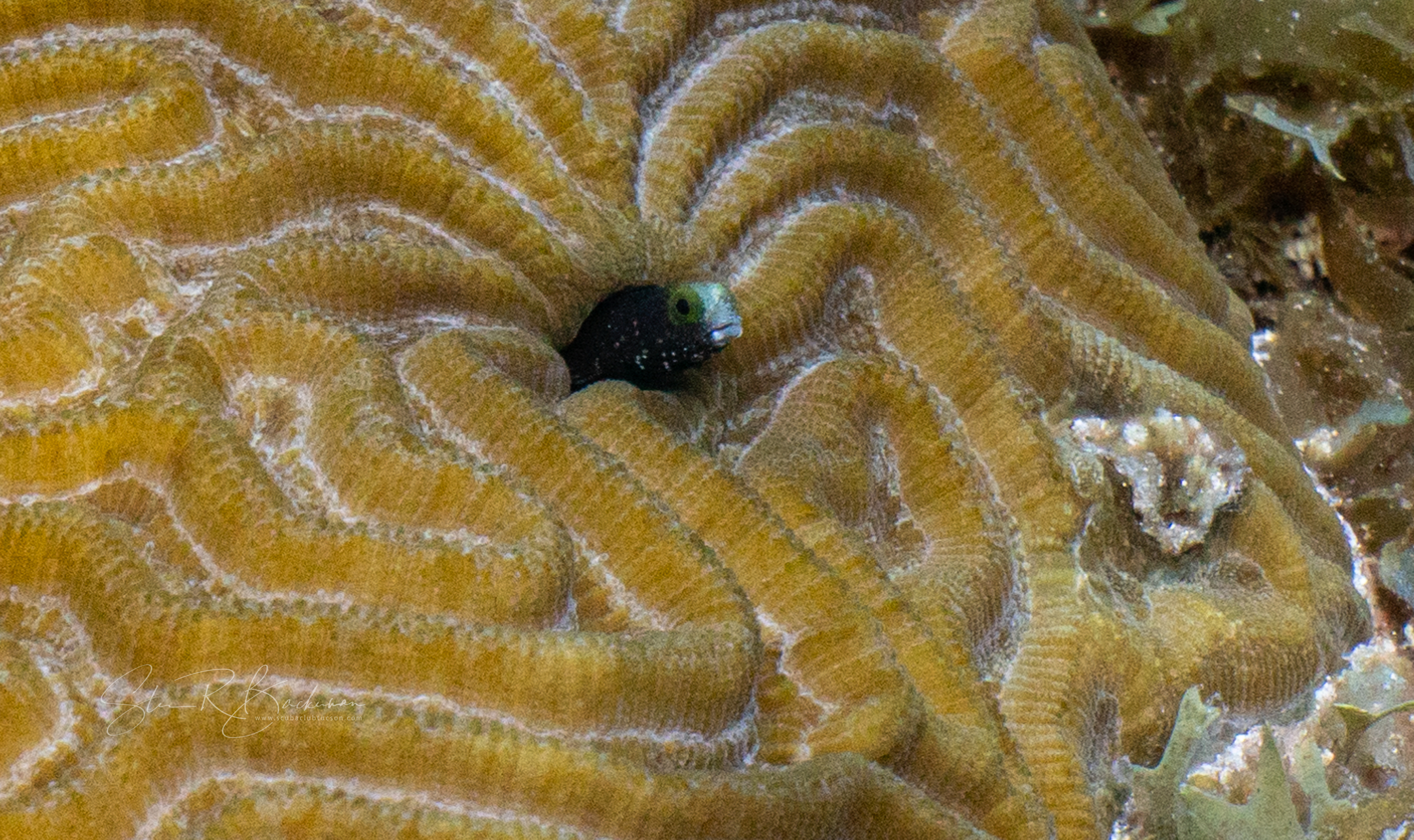 Young-male-Sailfin-Blenny-5475