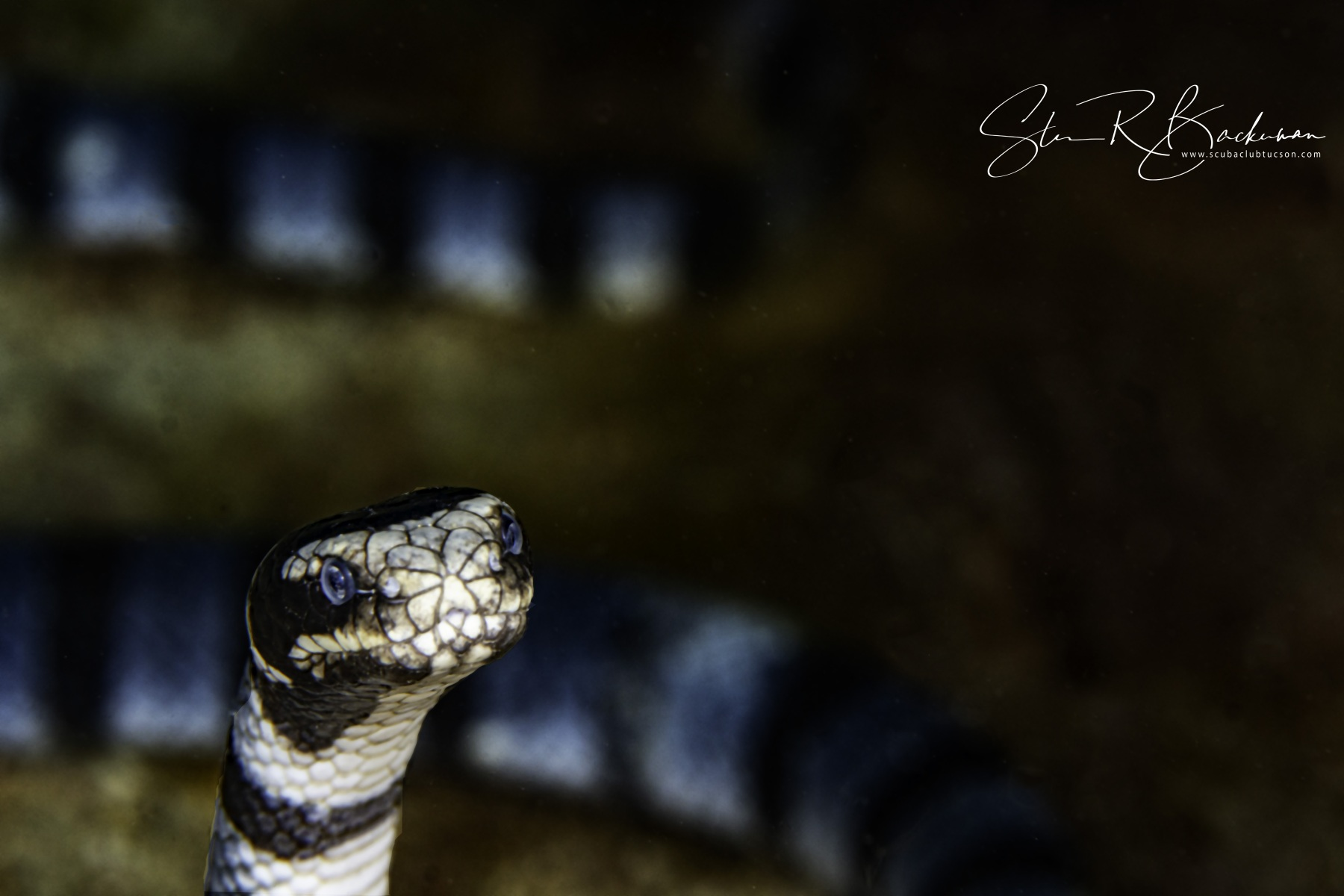 Banded-Sea-Krait