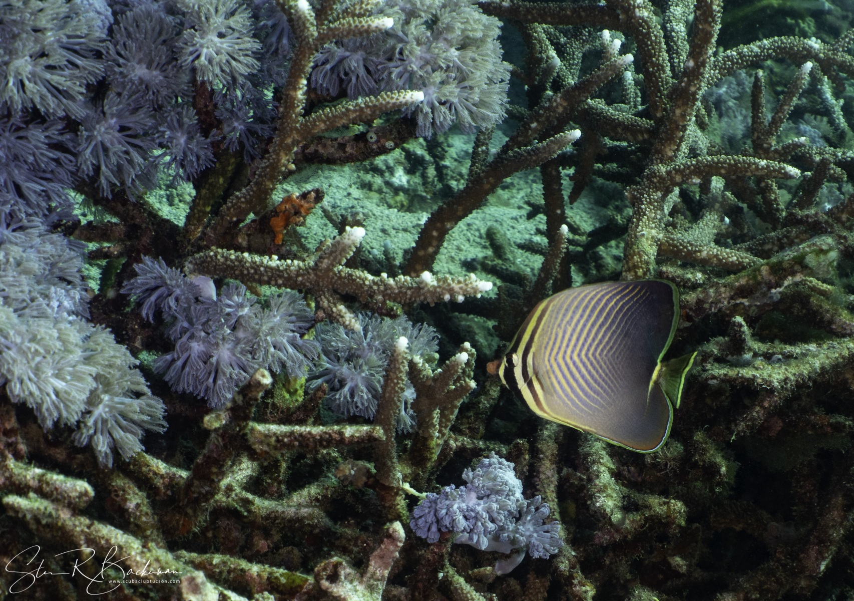 Eastern-Triangular-Butterflyfish