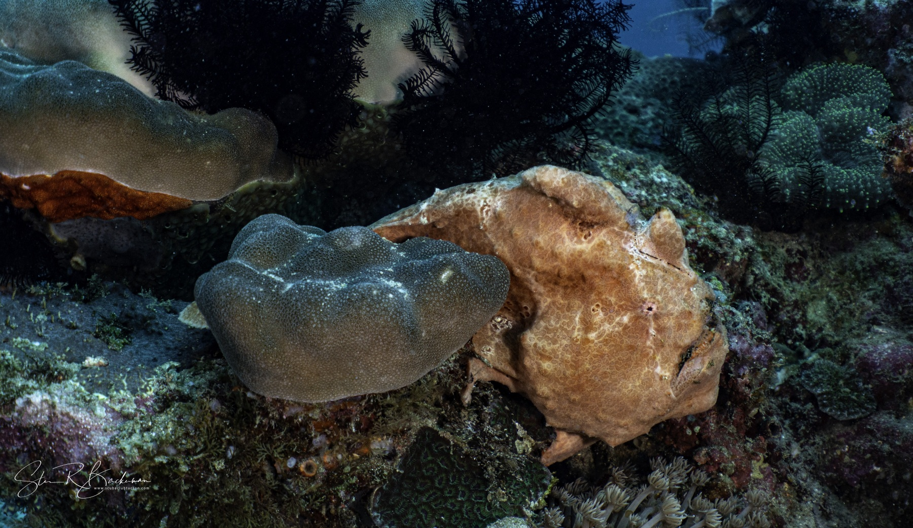 Giant-Frogfish-2