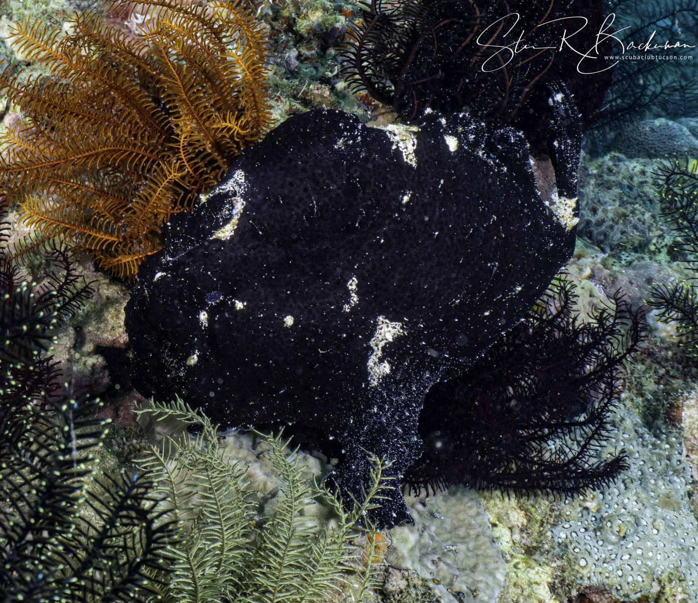 Giant-Frogfish-3
