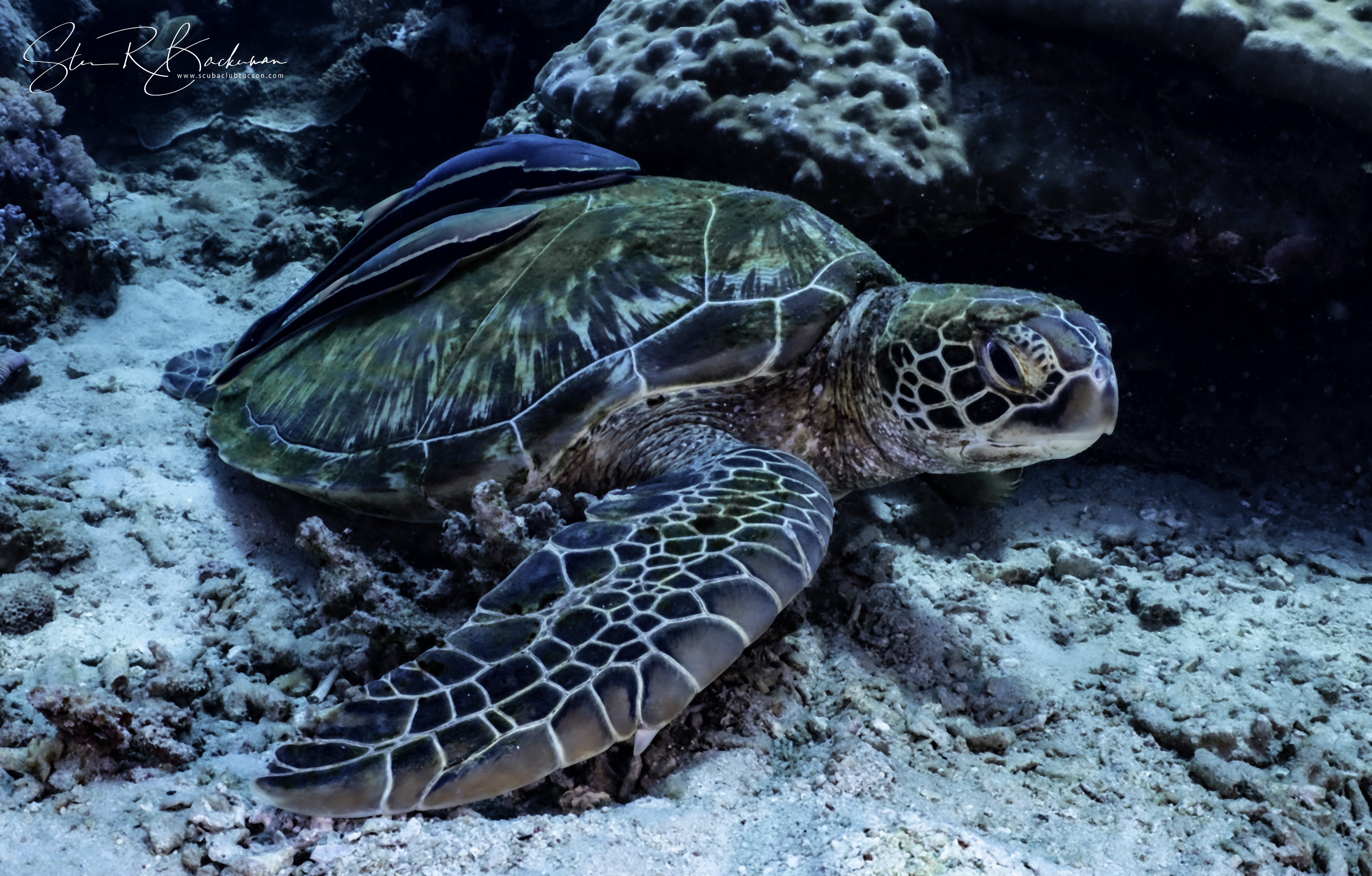 Green-Sea-Turtle-and-two-Sharksuckers