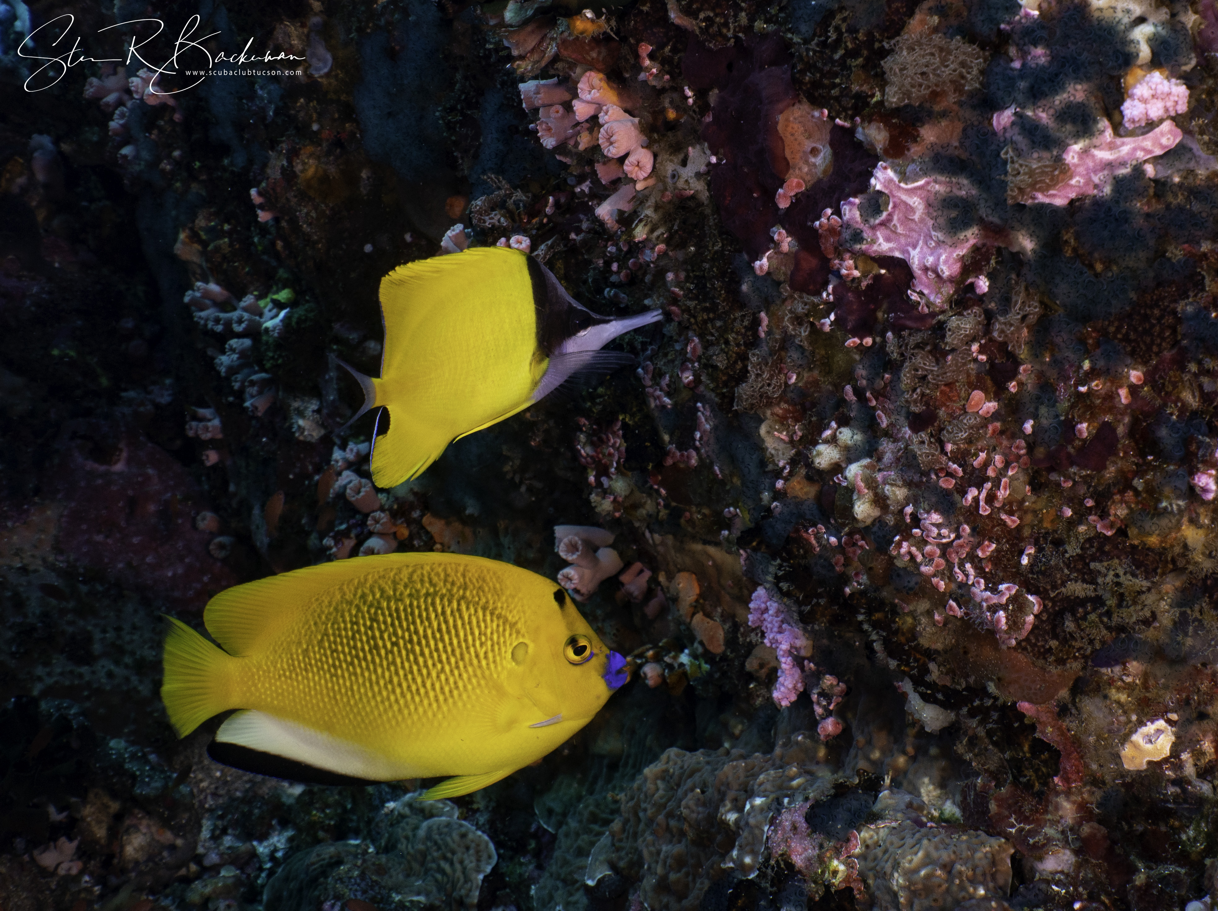 Longnose-Butterflyfish-Three-spot-Angelfish