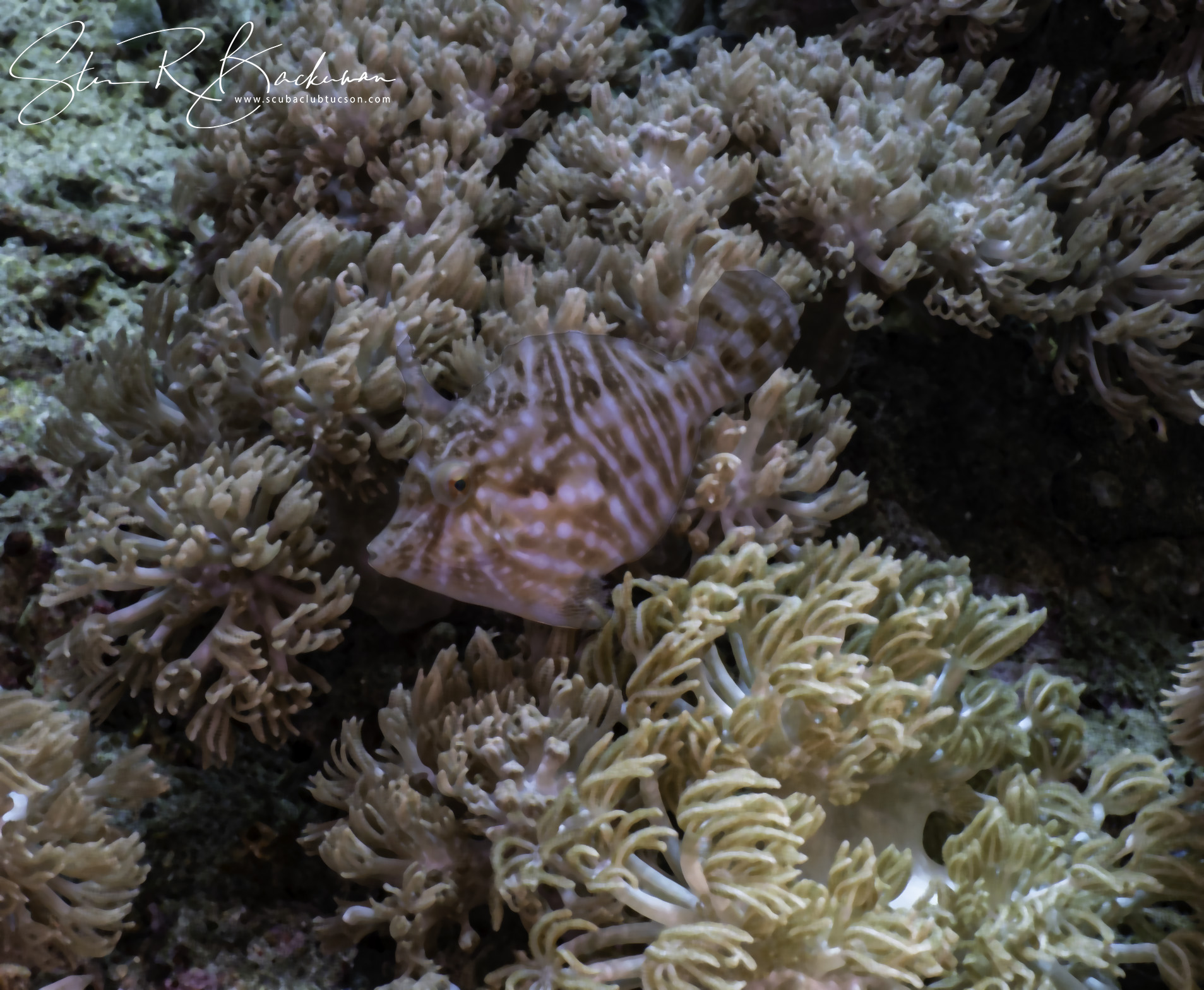Radial-Filefish