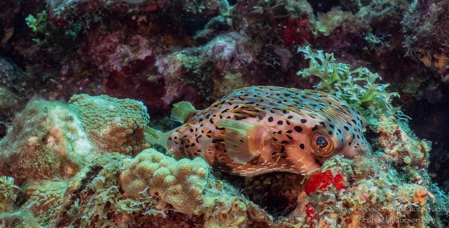Balloonfish 2-2876