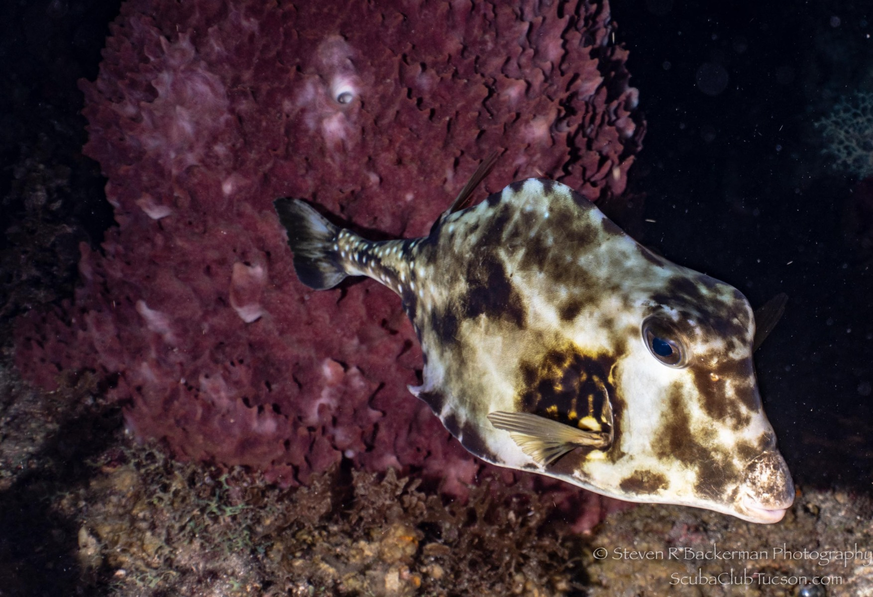 Buffalo Trunkfish-3045