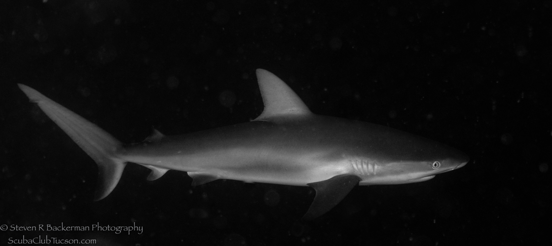 Caribbean Reef Shark -2723