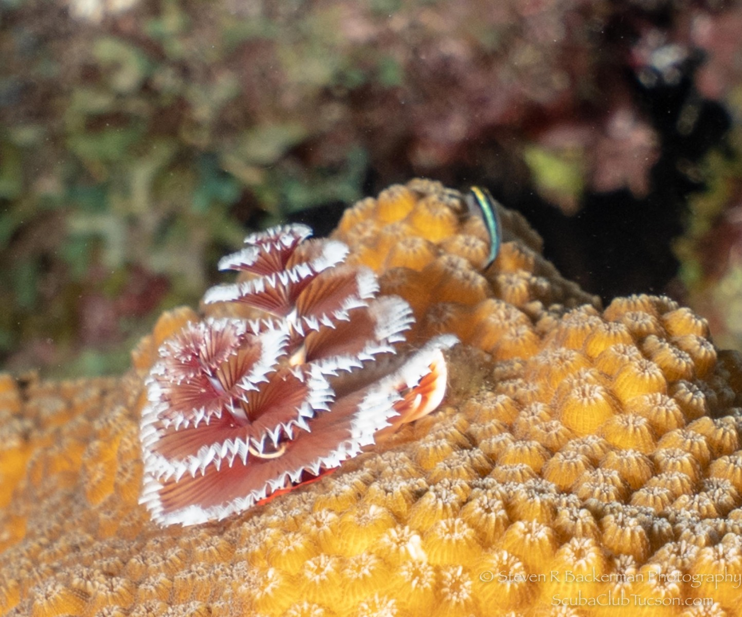 Christmas Tree Worm (Sharknose Goby in the background)-2526