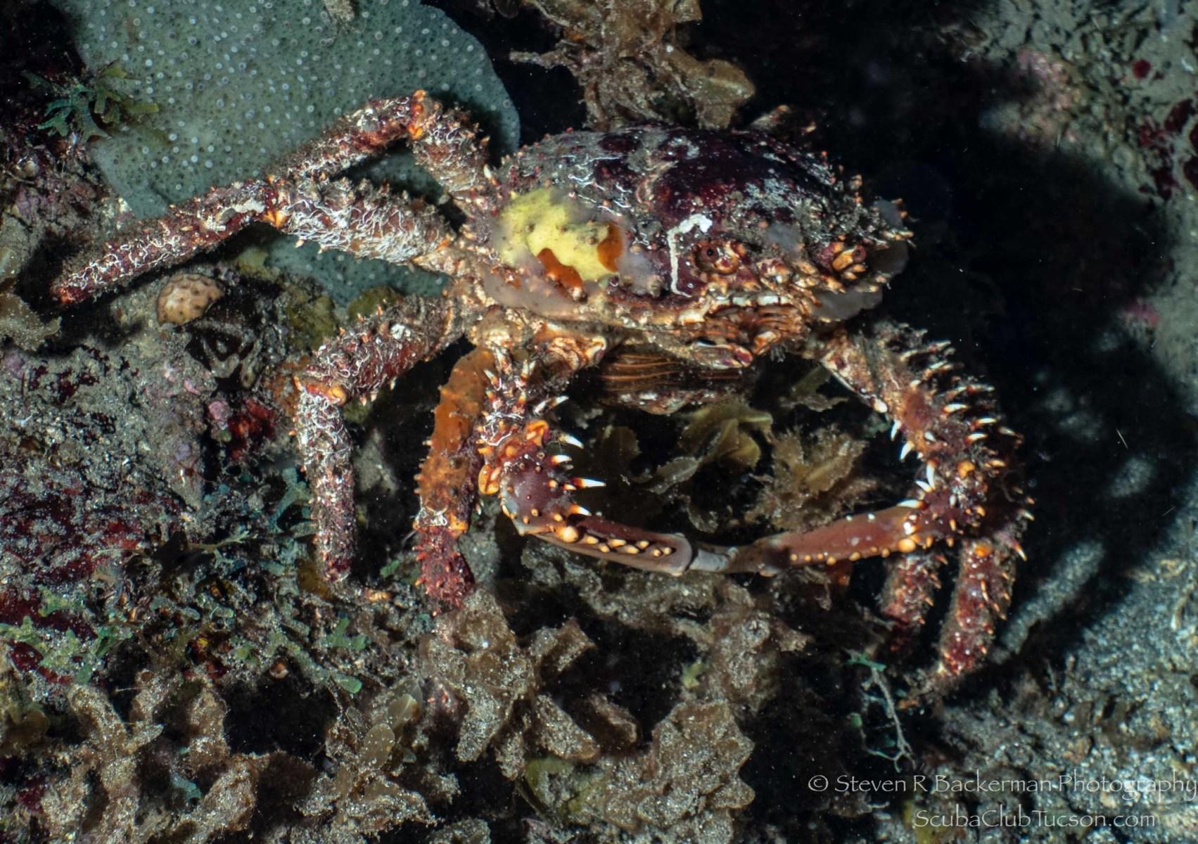 Furcate Spider Crab-3059