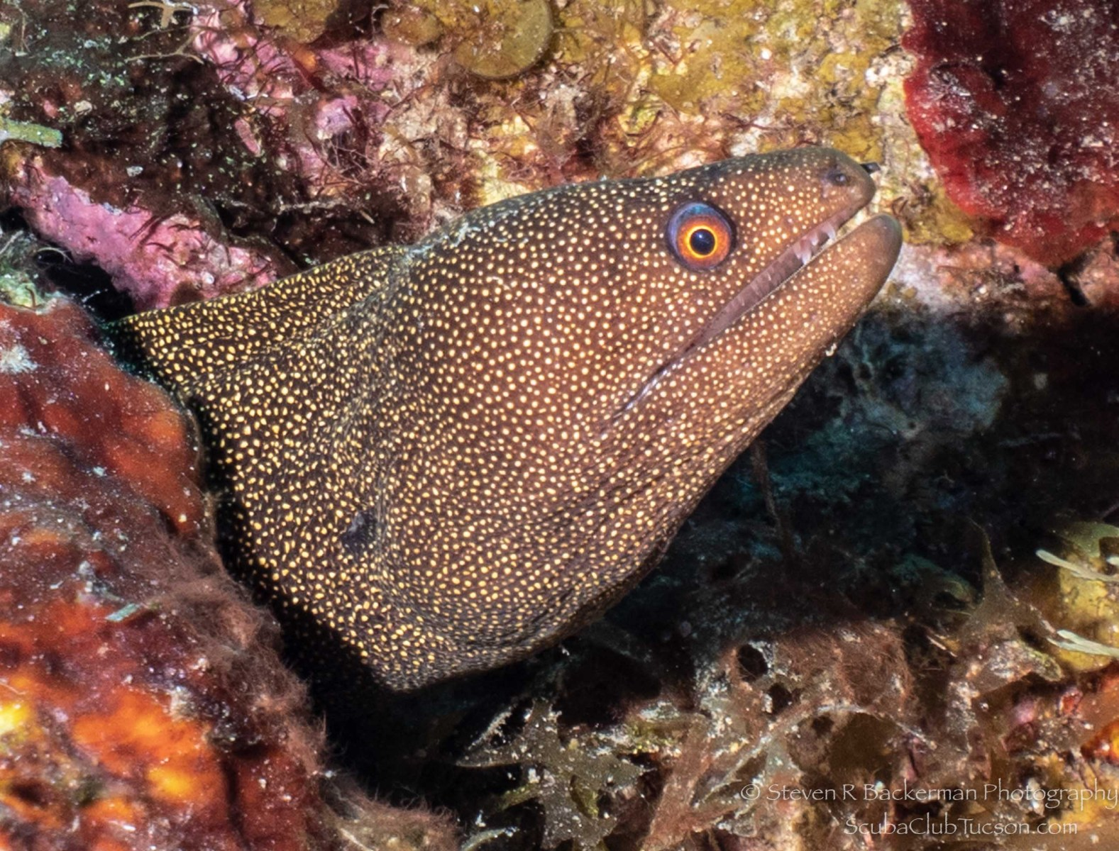 Goldentail Moray Eel-2926