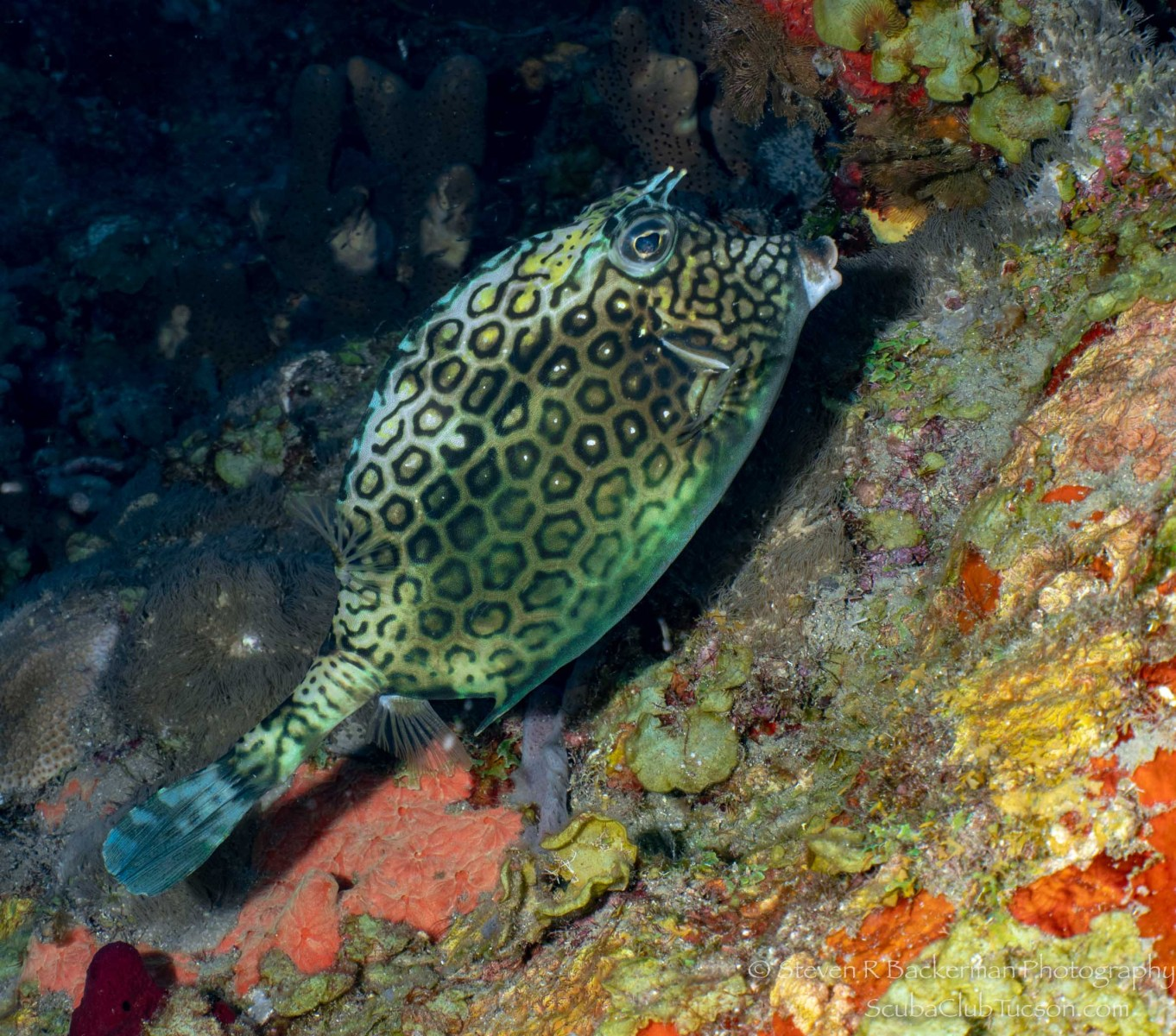 Honeycomb Cowfish-2545