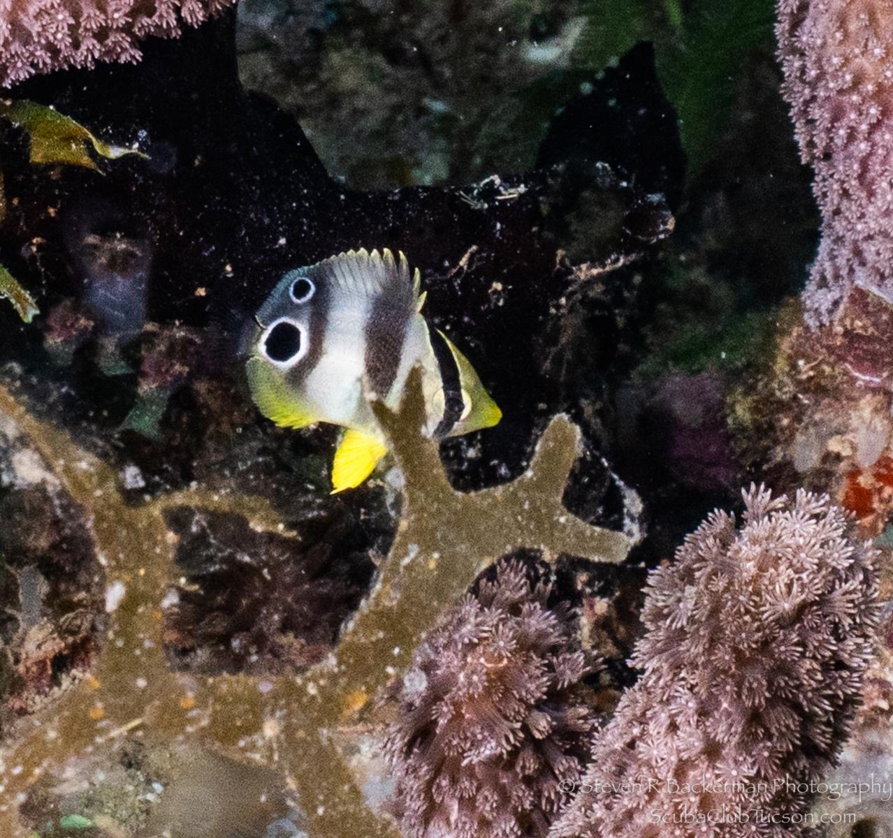 Juvenile Foureye Butterflyfish-3609