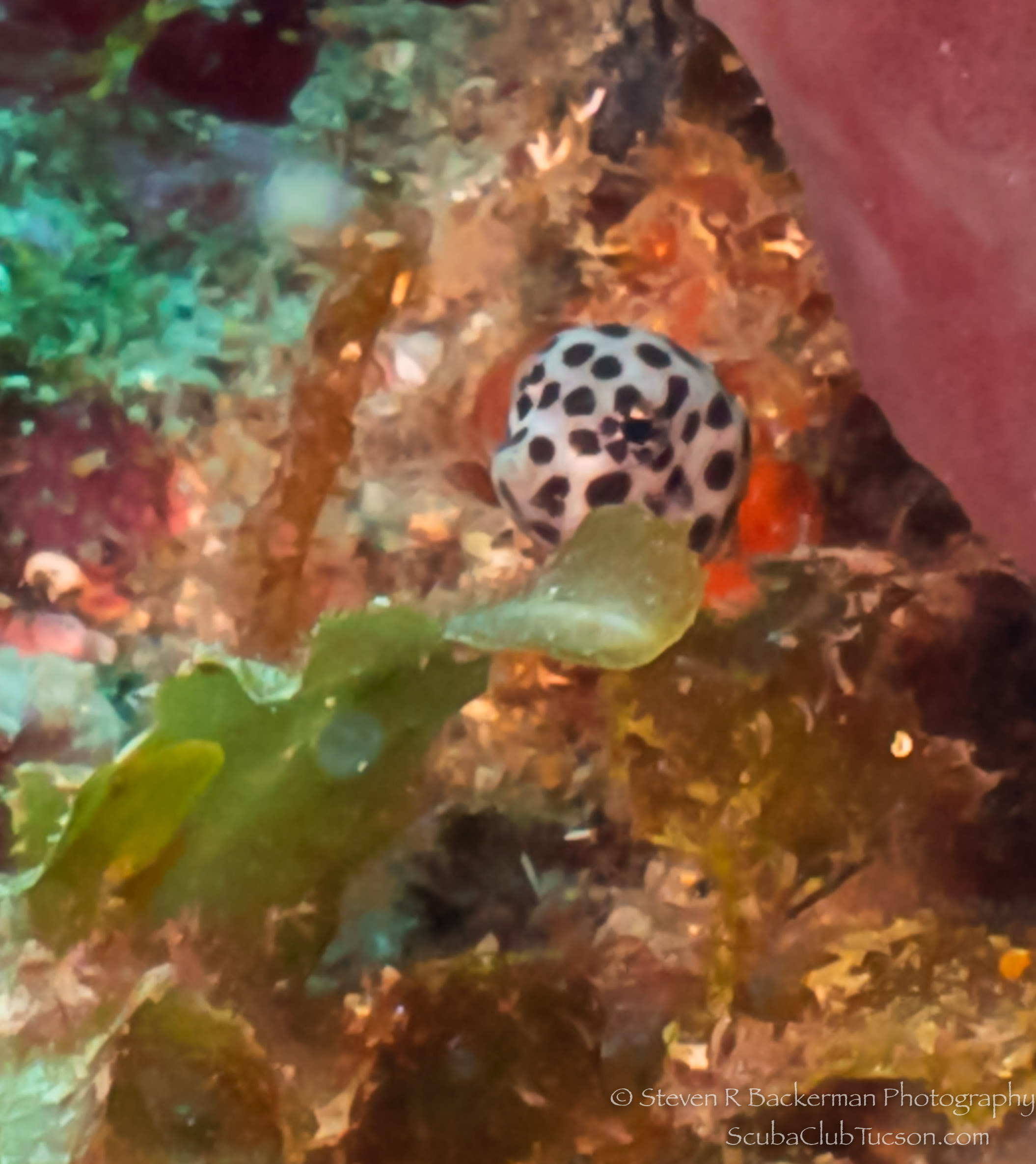 Juvenile Spotted Trunkfish-2986