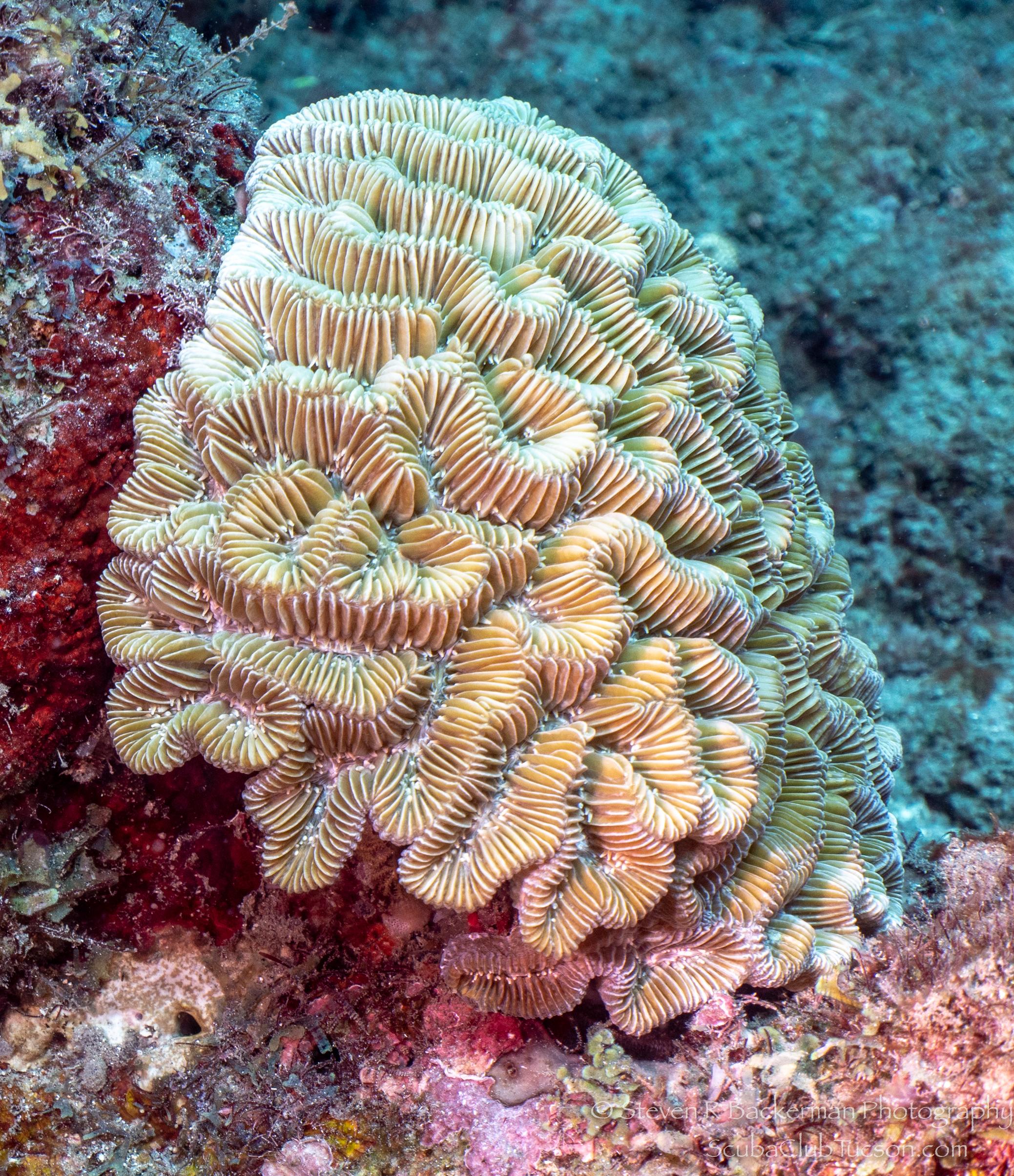 Maze Coral-3106