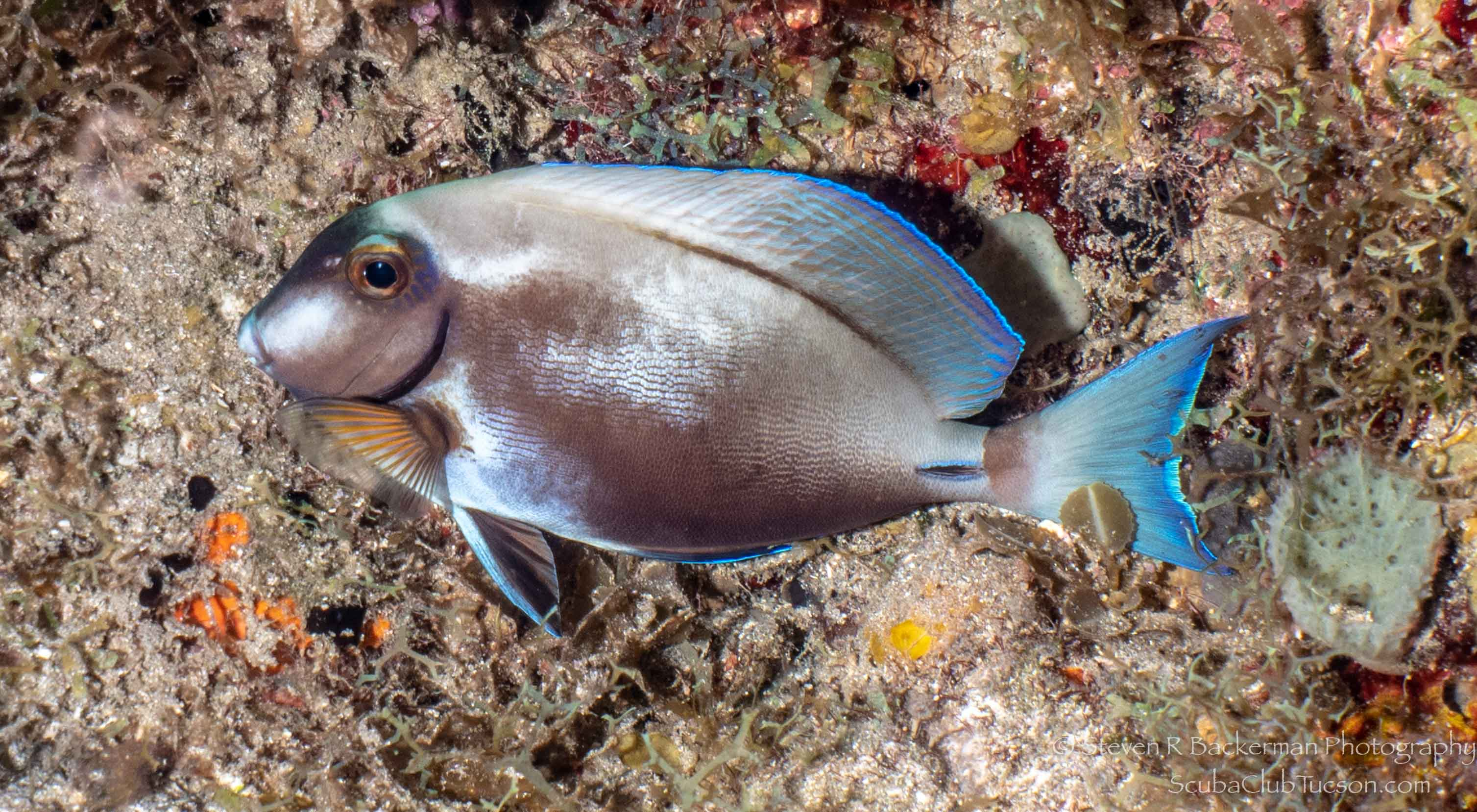 Ocean Surgeonfish mid-color change-3084