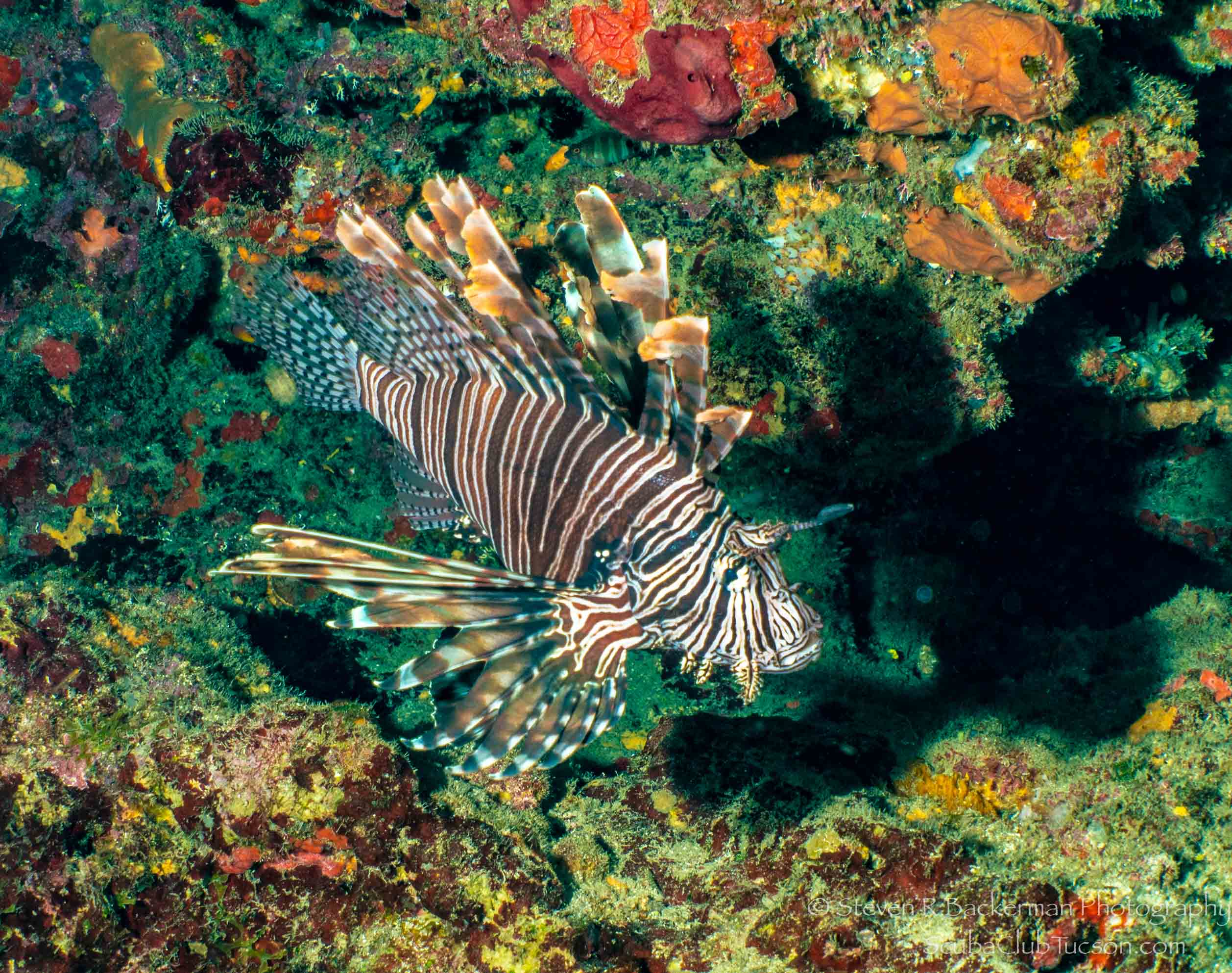 Red Lionfish-2861