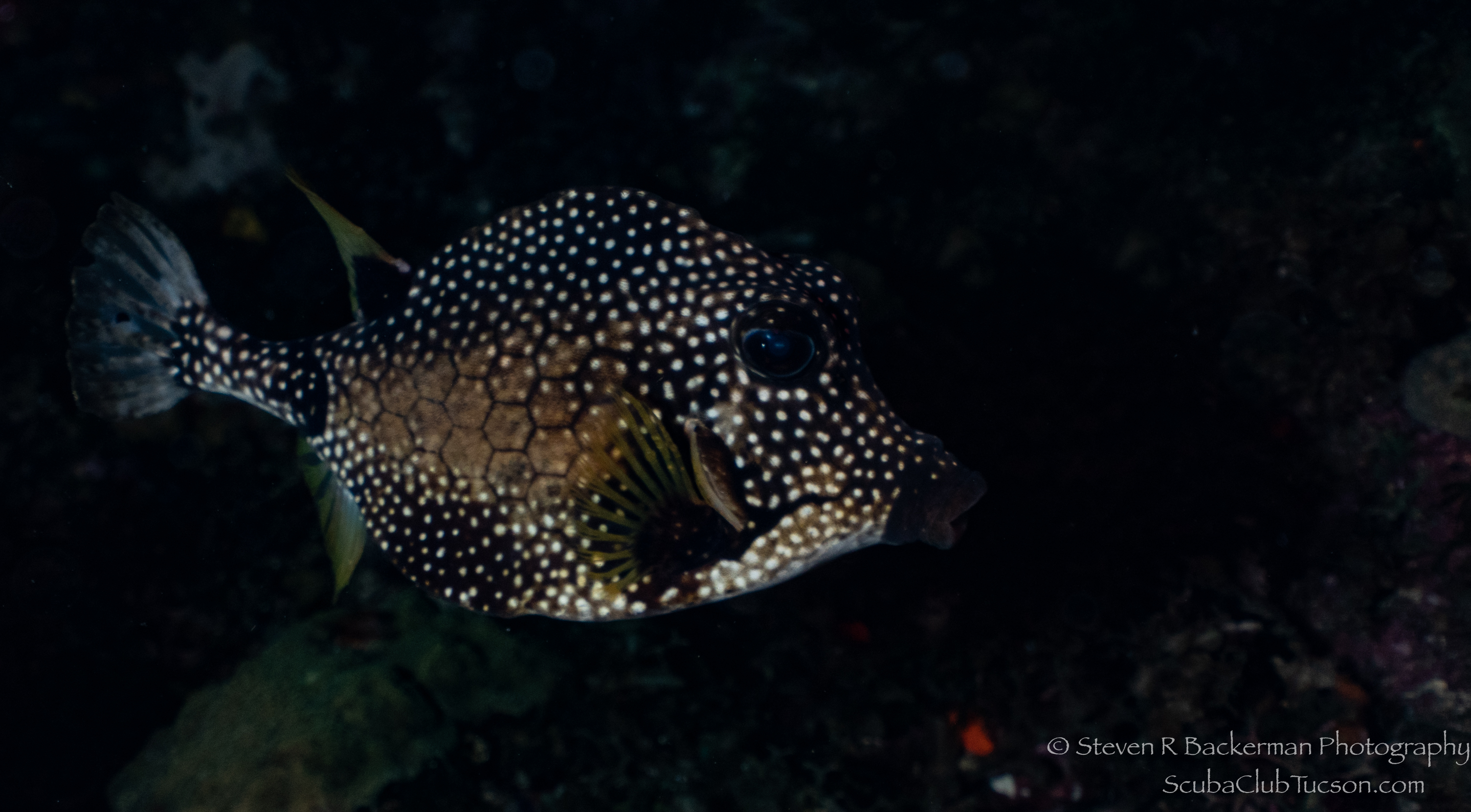 Smooth Trunkfish-3324