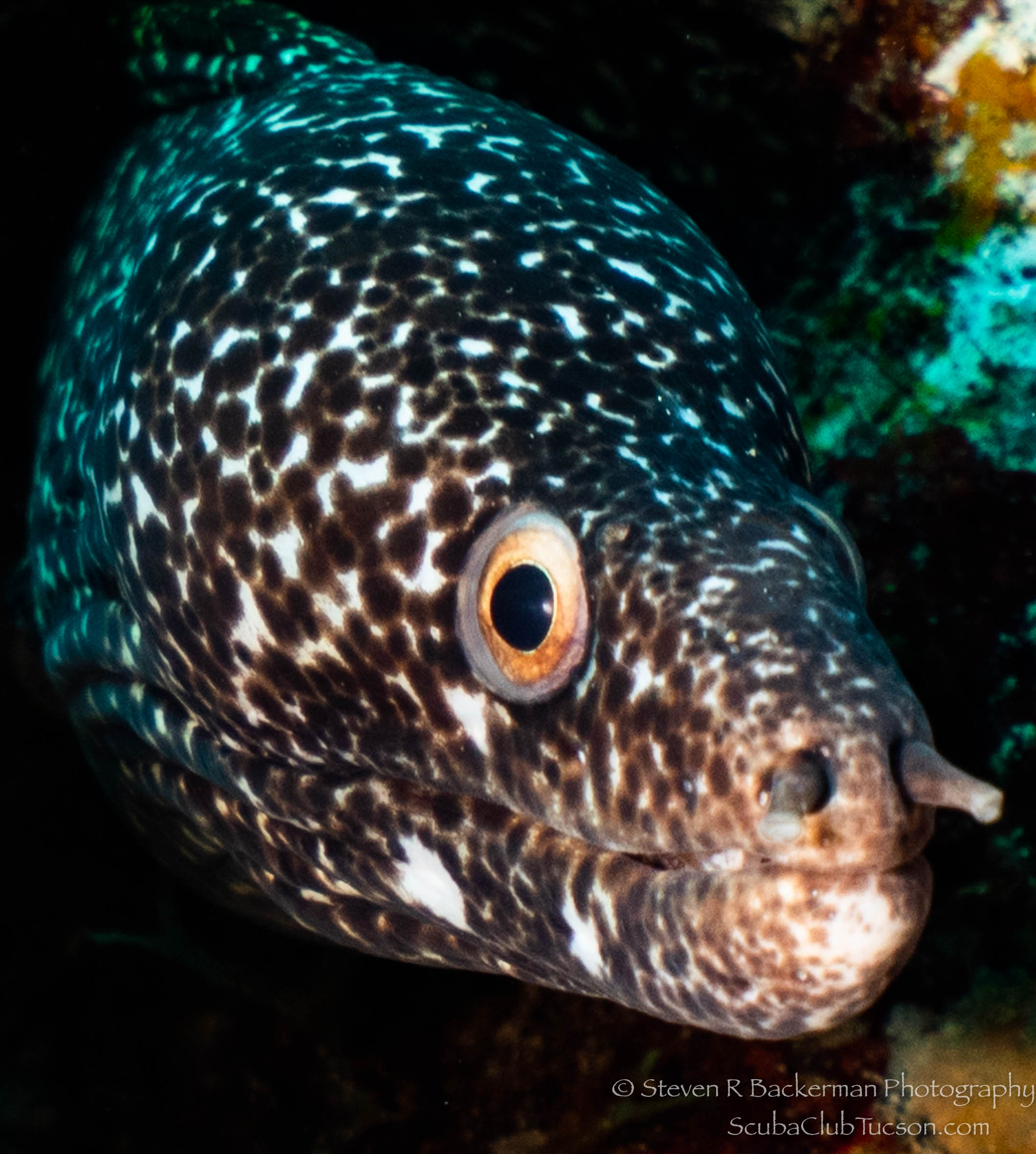 Spotted Moray Eel-2871