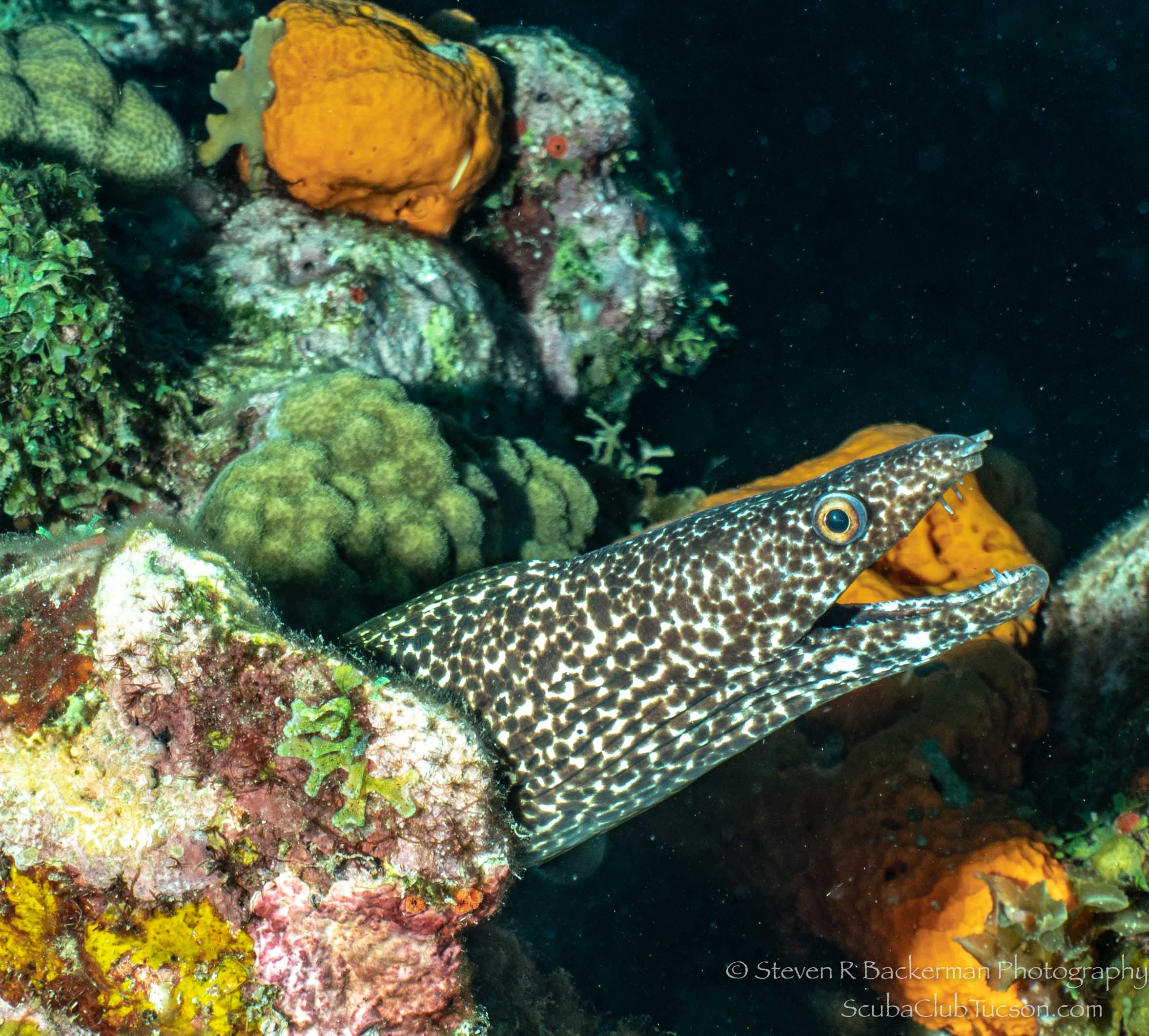 Spotted Moray Eel-3026