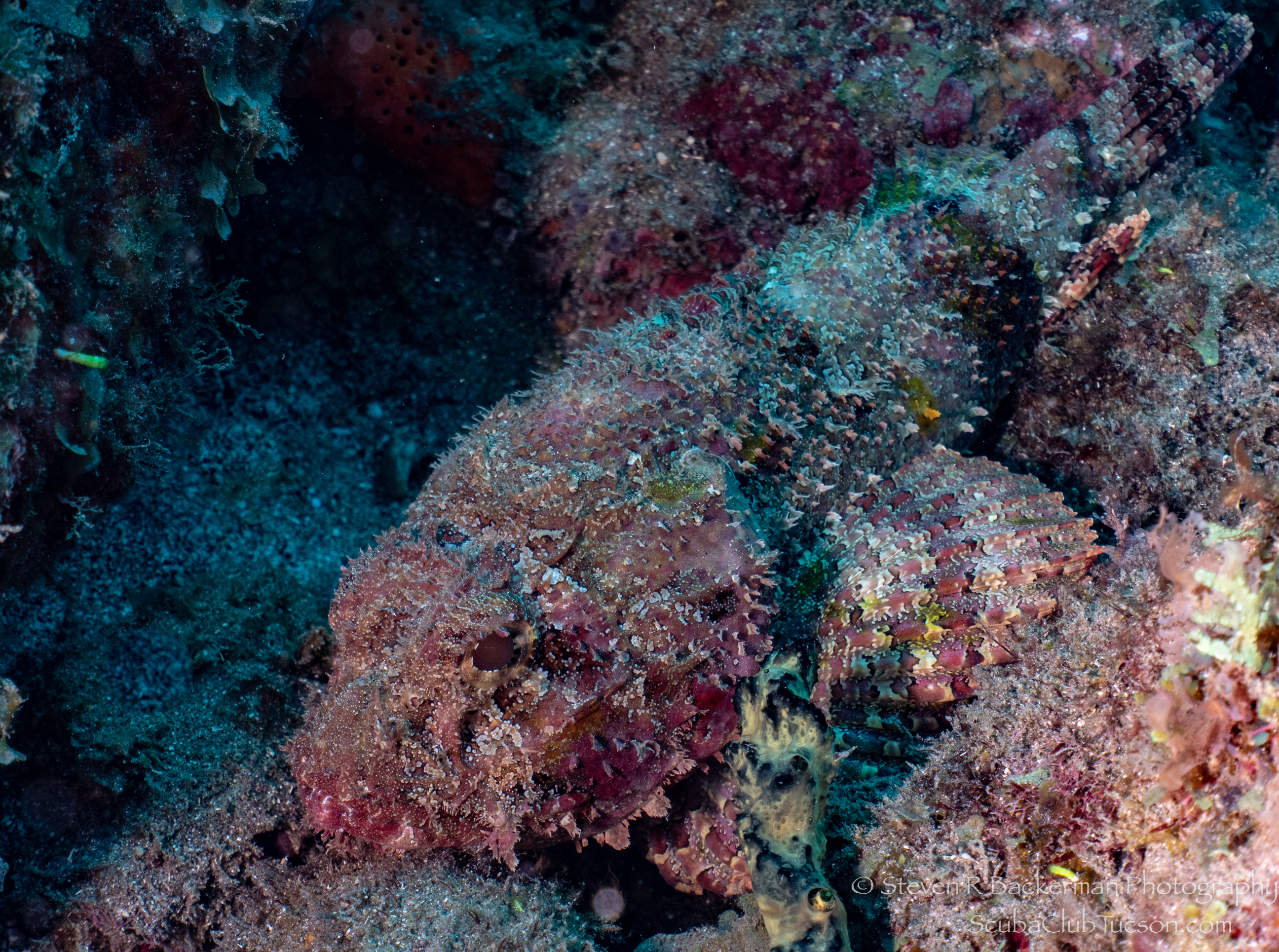 Spotted Scorpionfish-3097