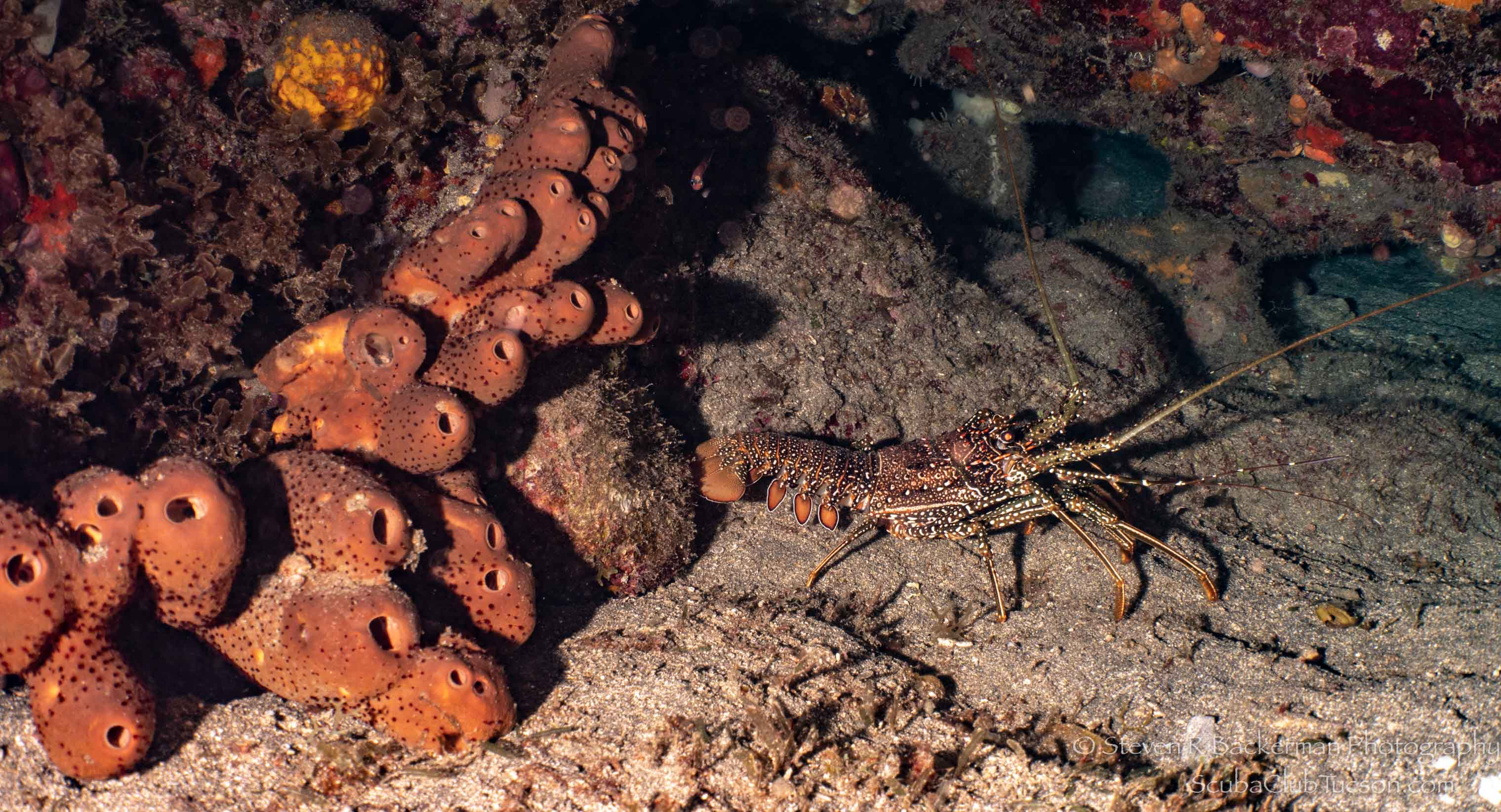 Spotted Spiny Lobster-3076