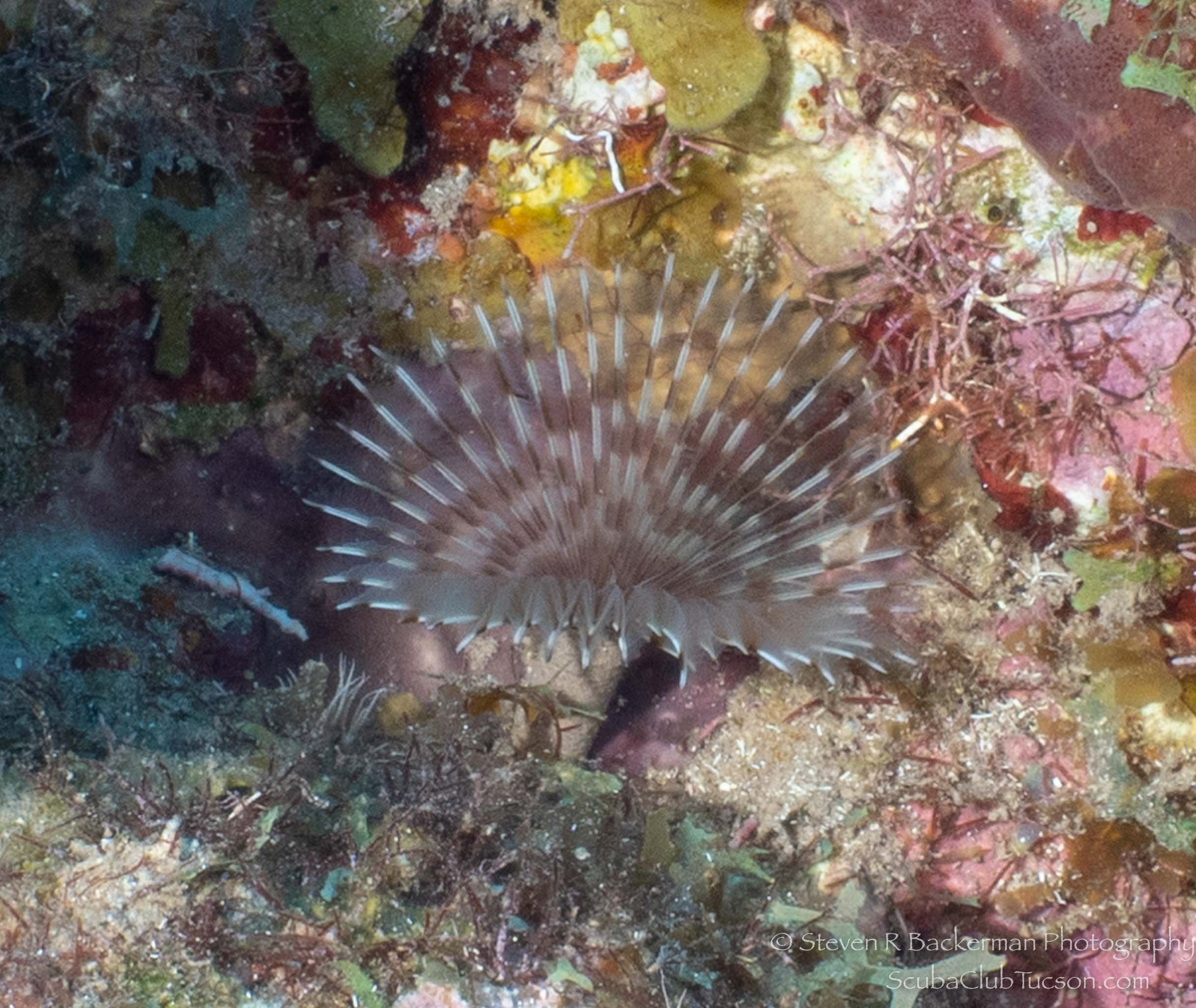Variegated Feather Duster Worm-2523