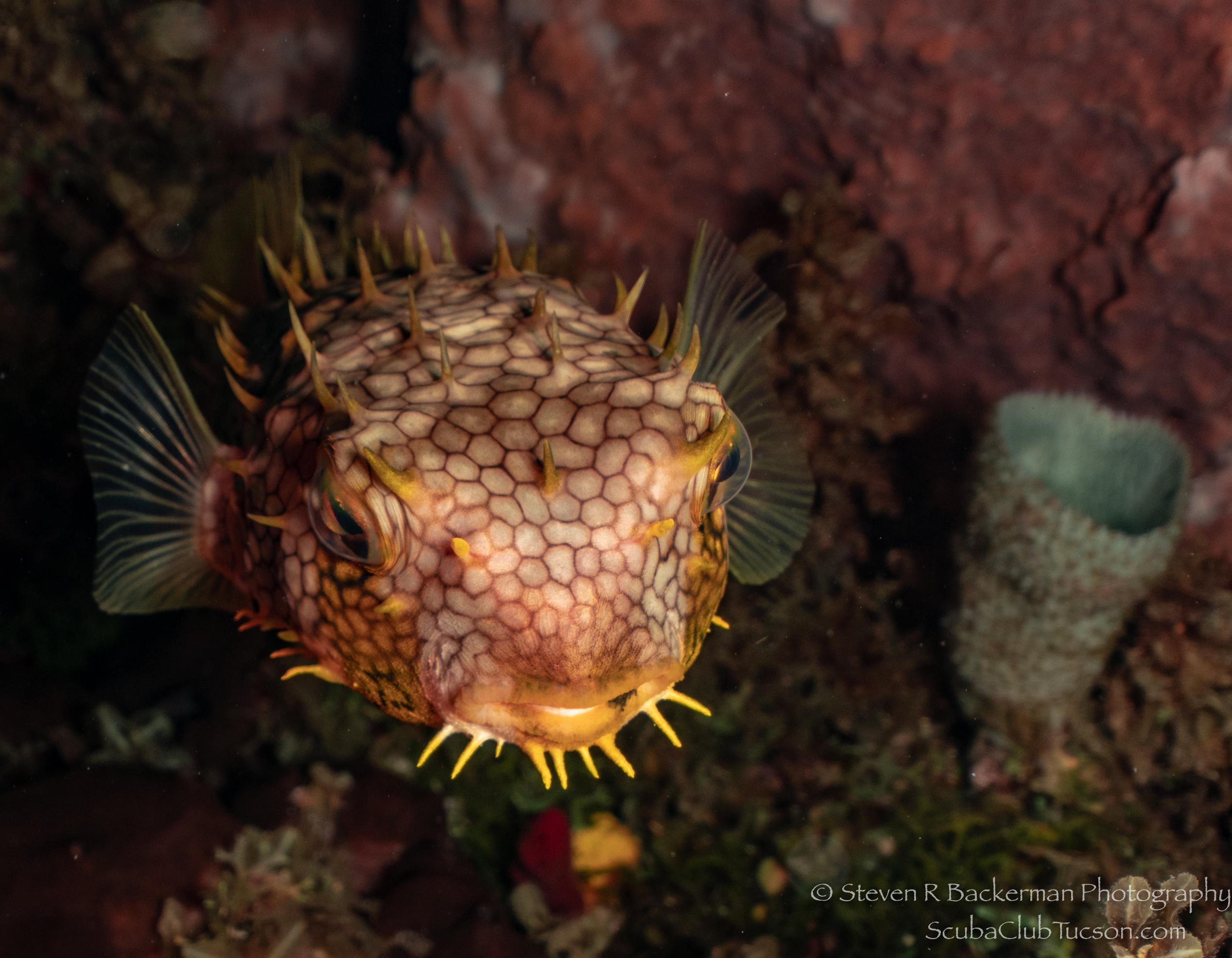 Web Burrfish-3326