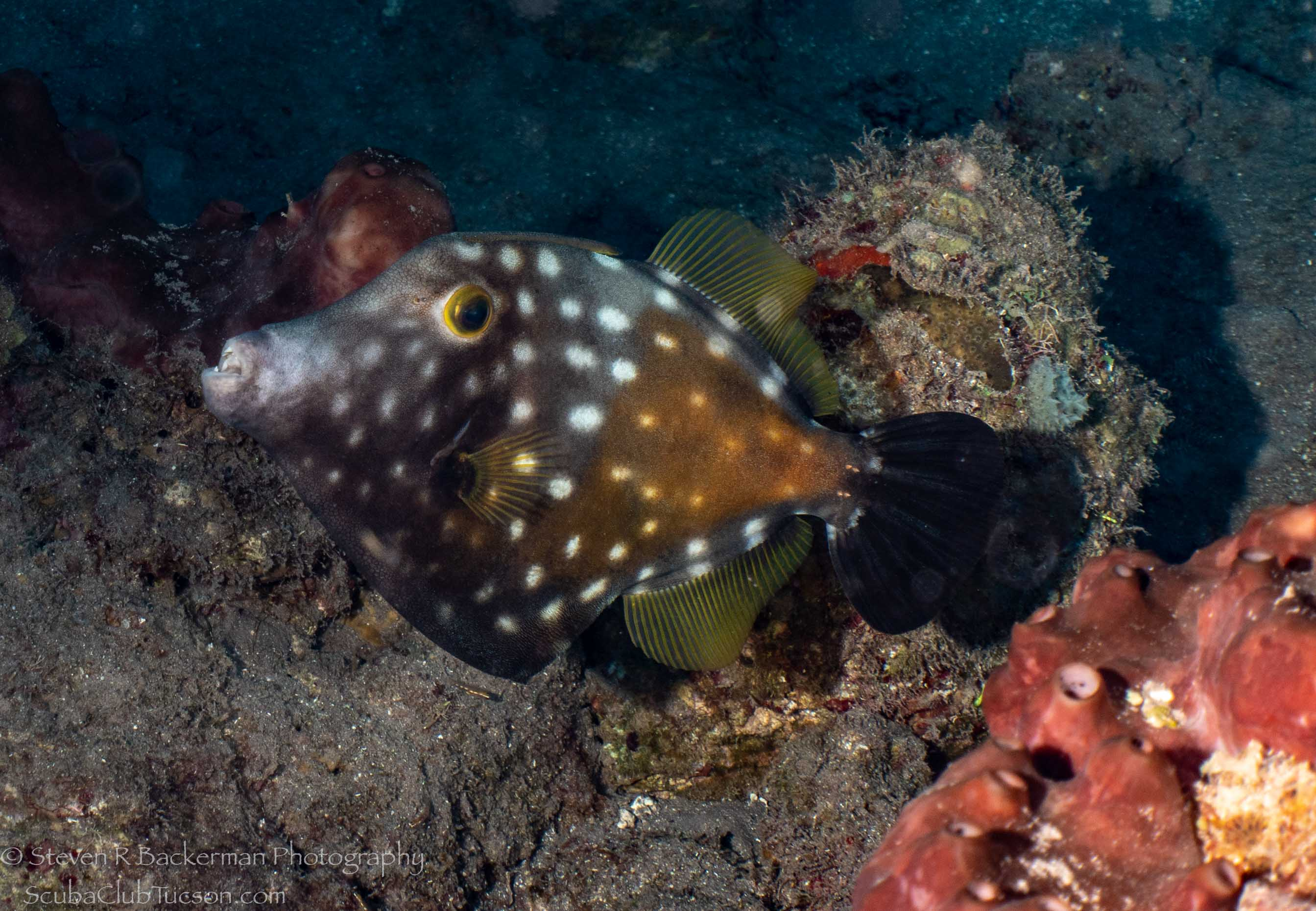 Whitespotted Filefish wth spots-2642