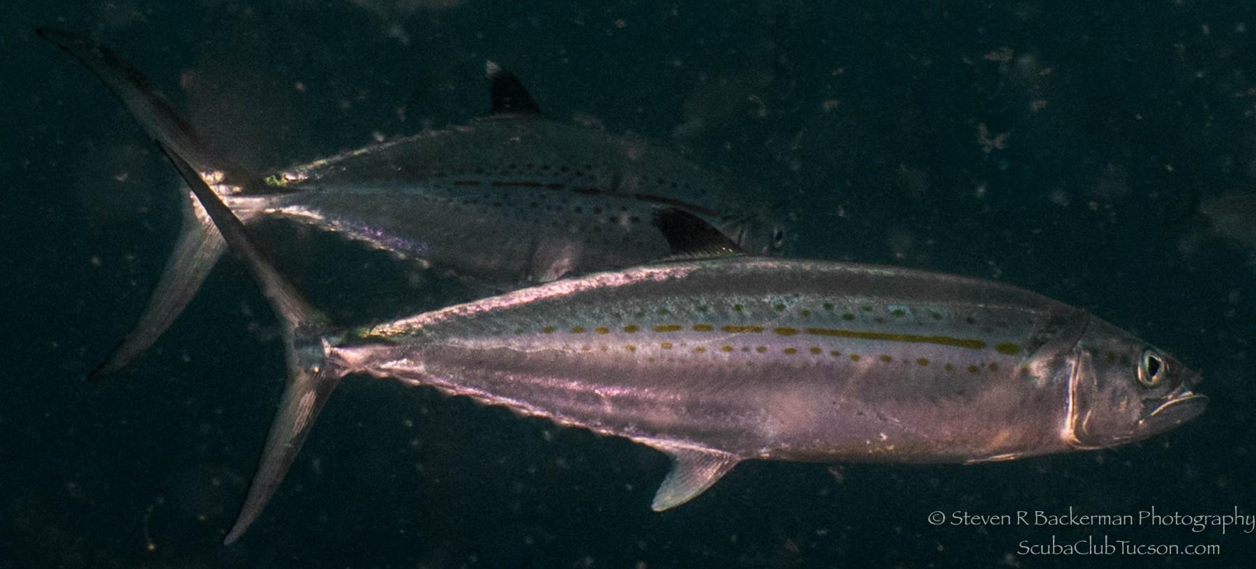 Cero (type of Mackerel)-1622