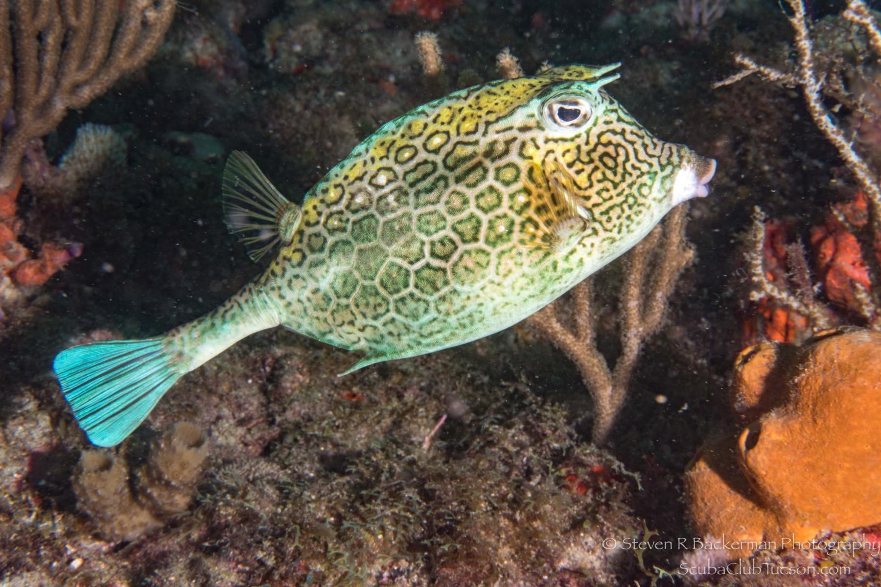 Honeycomb Cowfish 2-1793