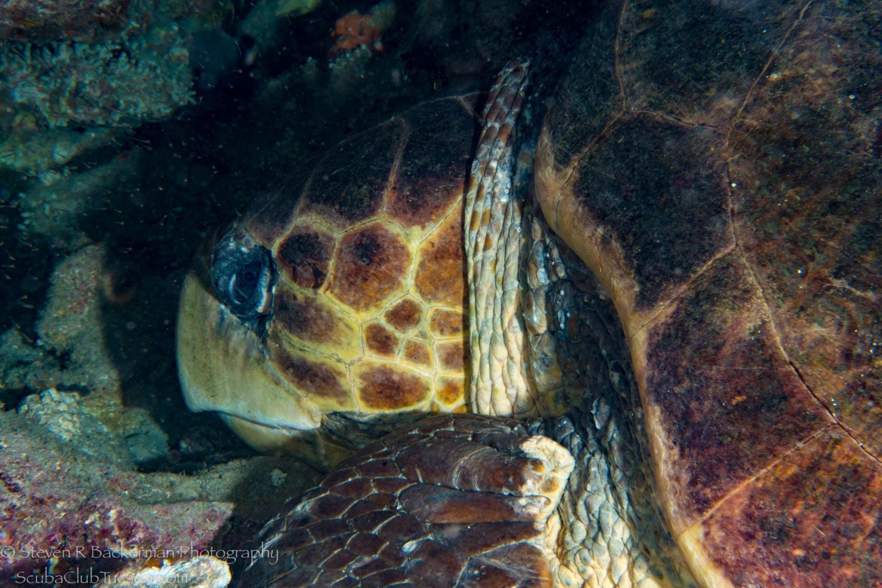 Loggerhead Sea Turtle-1832