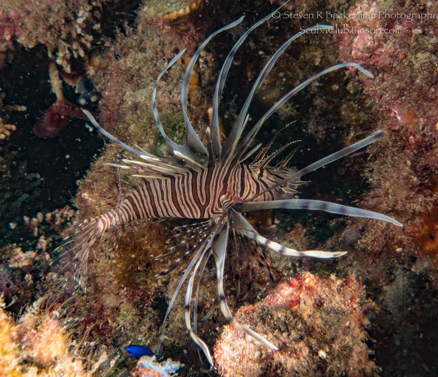Red Lionfish, black banded phase-1803