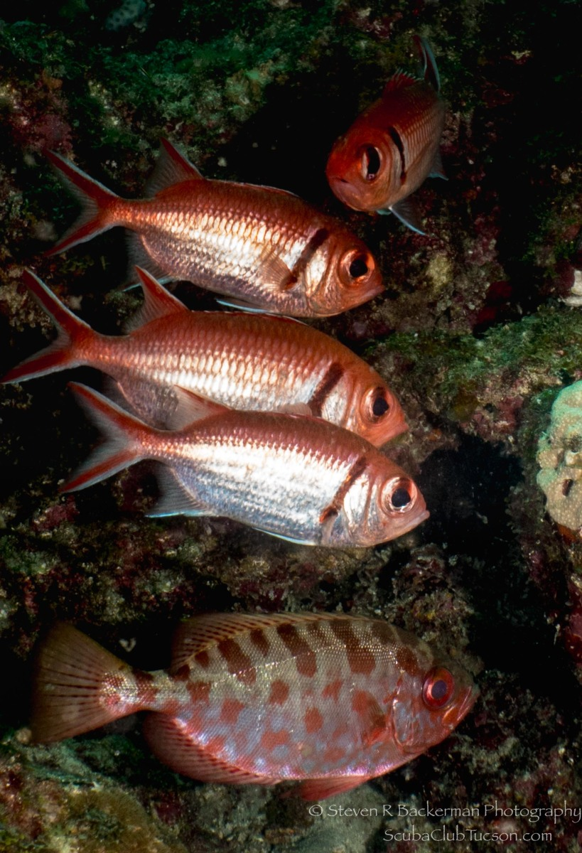 School of Blackbar Soldierfish and a Glasseye Snapper-1566