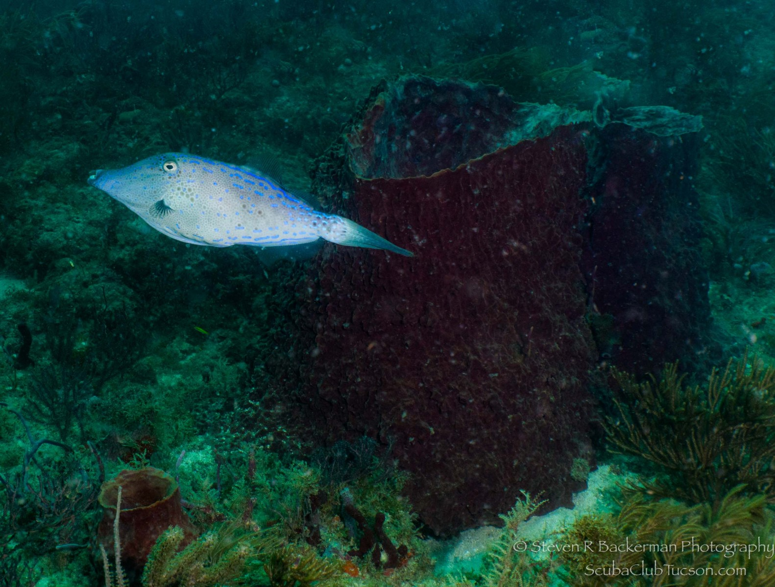 Scrawled Filefish-1618