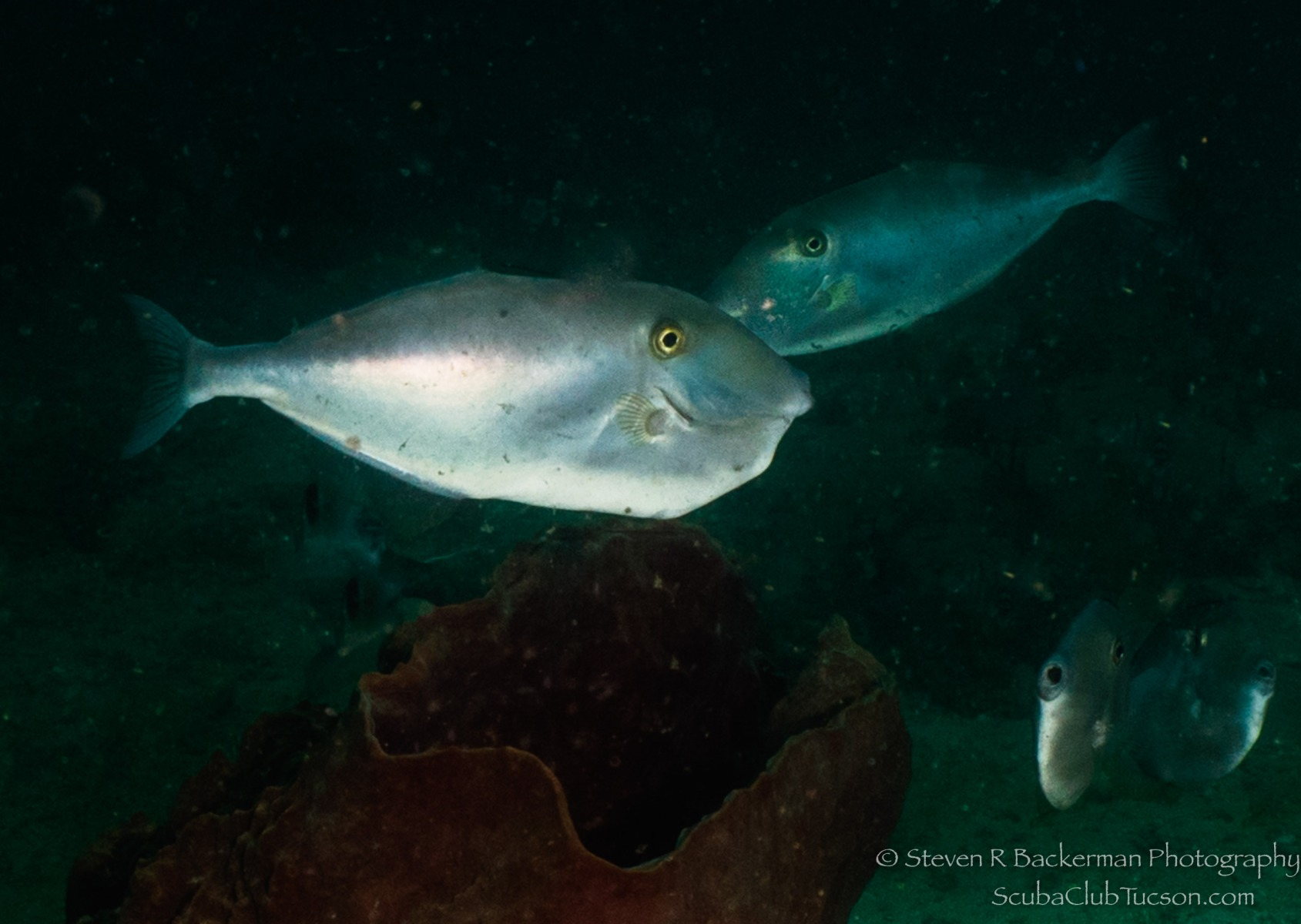 Unicorn Filefish-1638